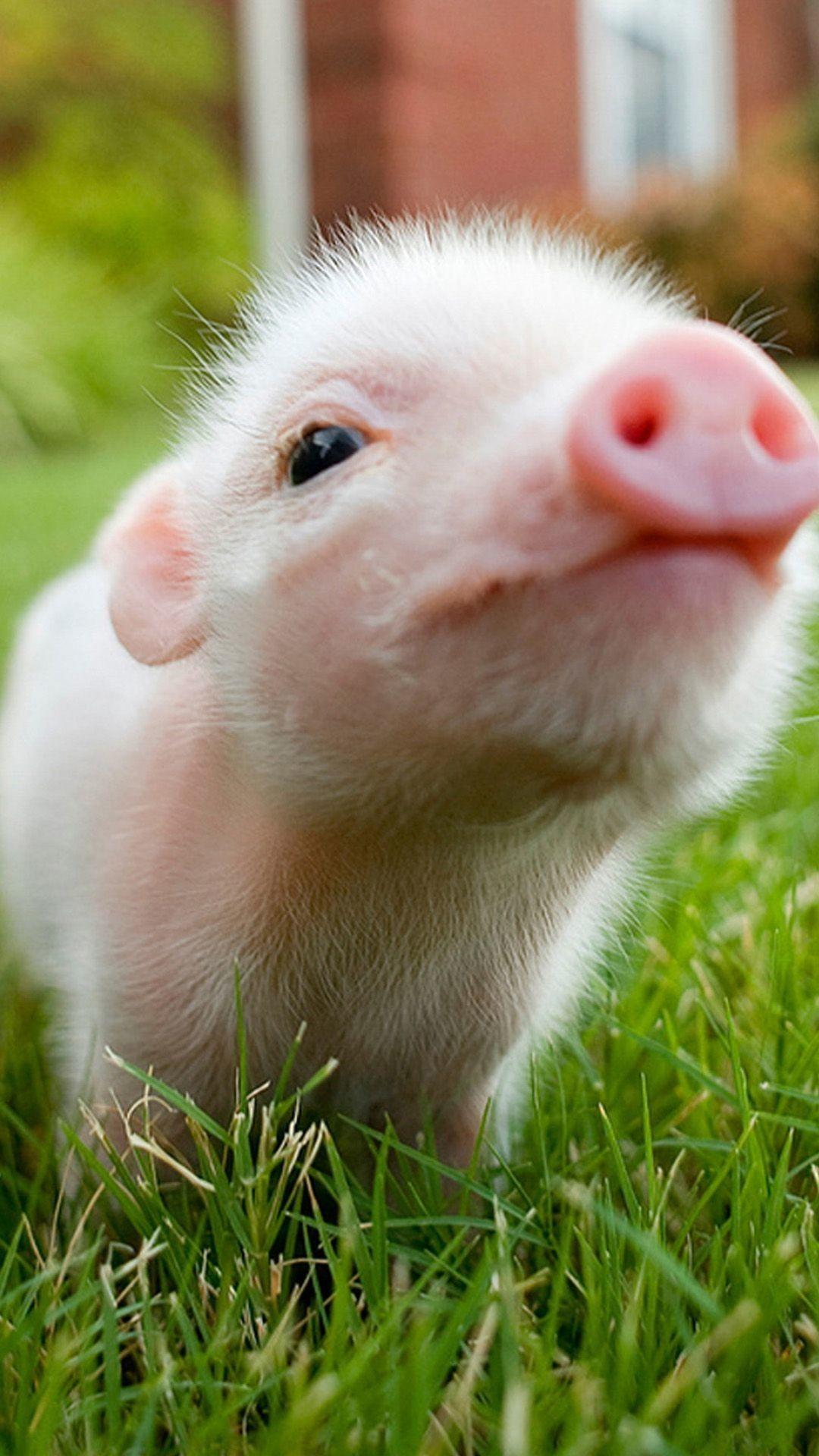 Pig iPhone Wallpapers - Top Free Pig ...