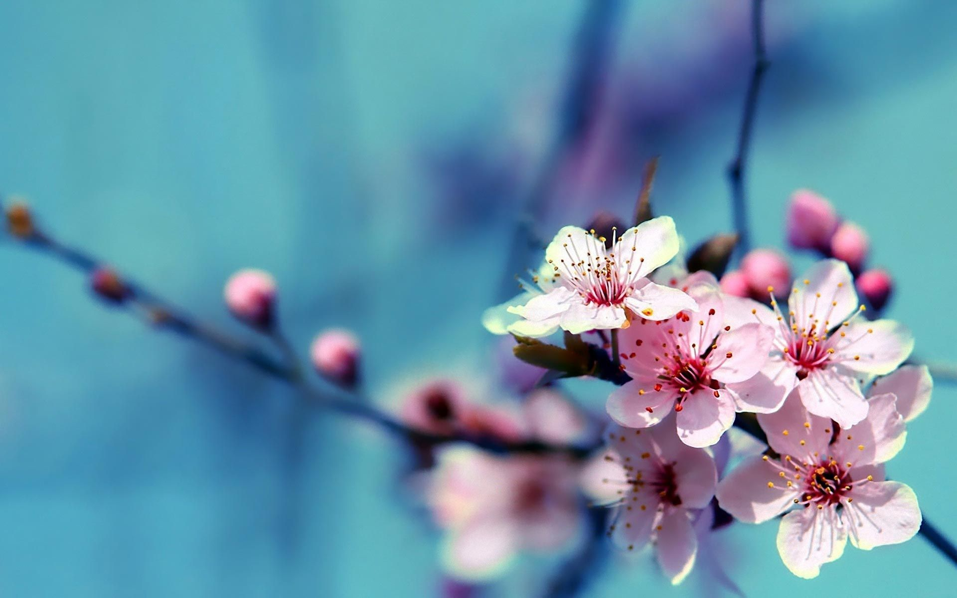 Cherry Blossoms Flowers Wallpapers Top Free Cherry