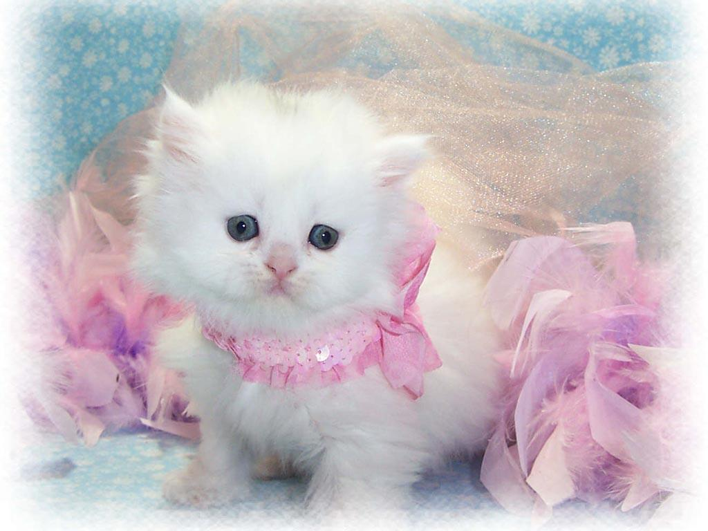 White Cat Wallpapers Top Free White Cat Backgrounds