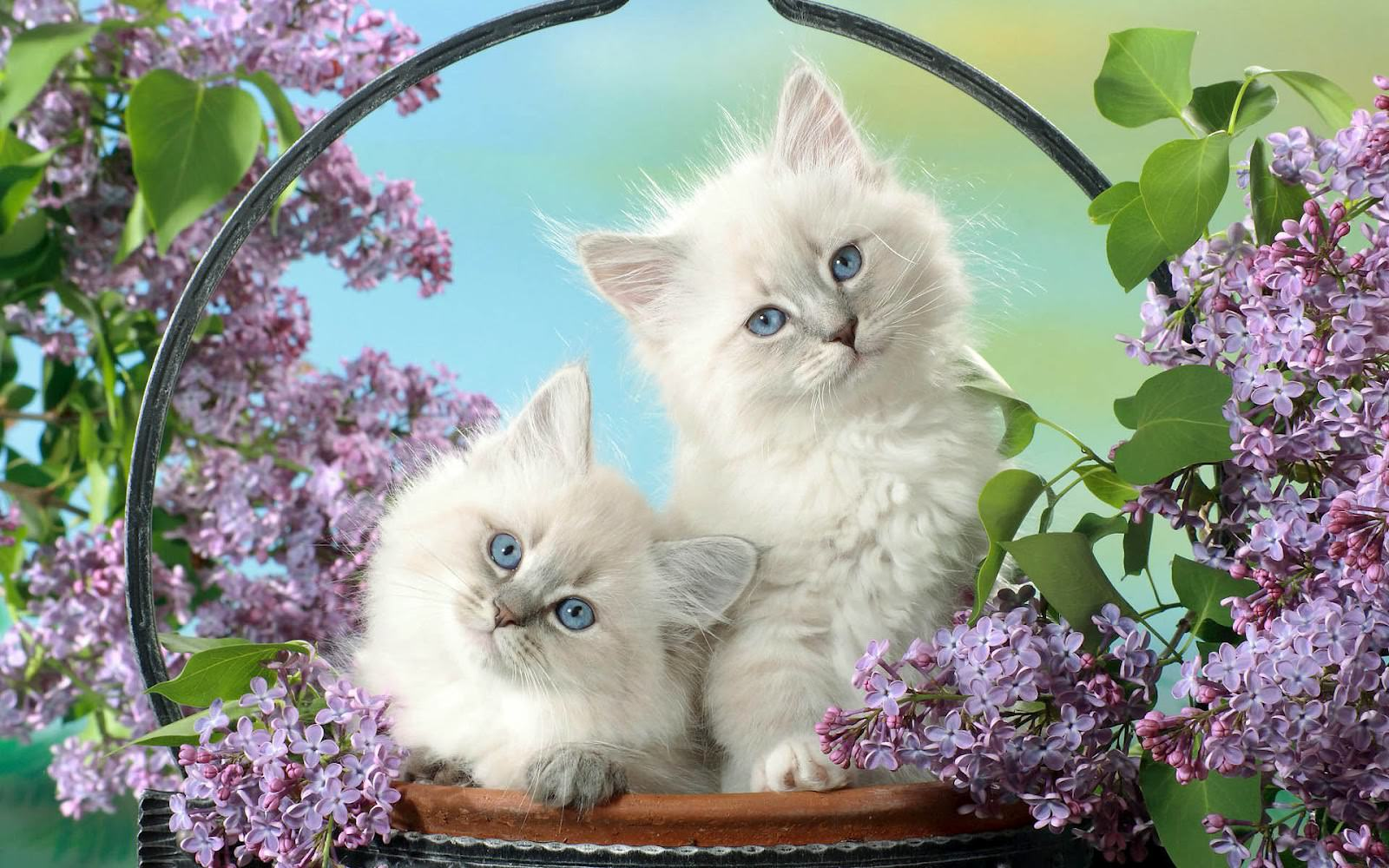 Beautiful Cats Wallpapers Top Free Beautiful Cats Backgrounds Wallpaperaccess