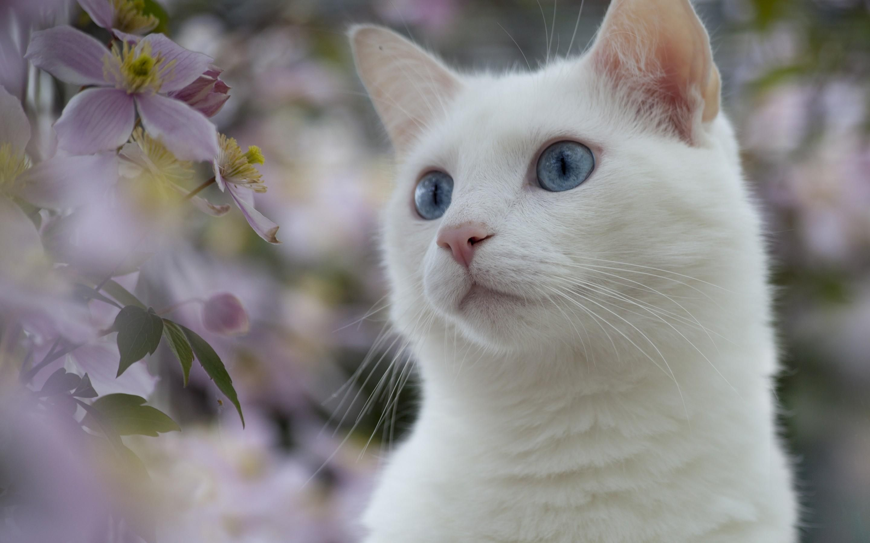5196x3438 White Cat With Blue Eyes Close Up Wallpapers And Images