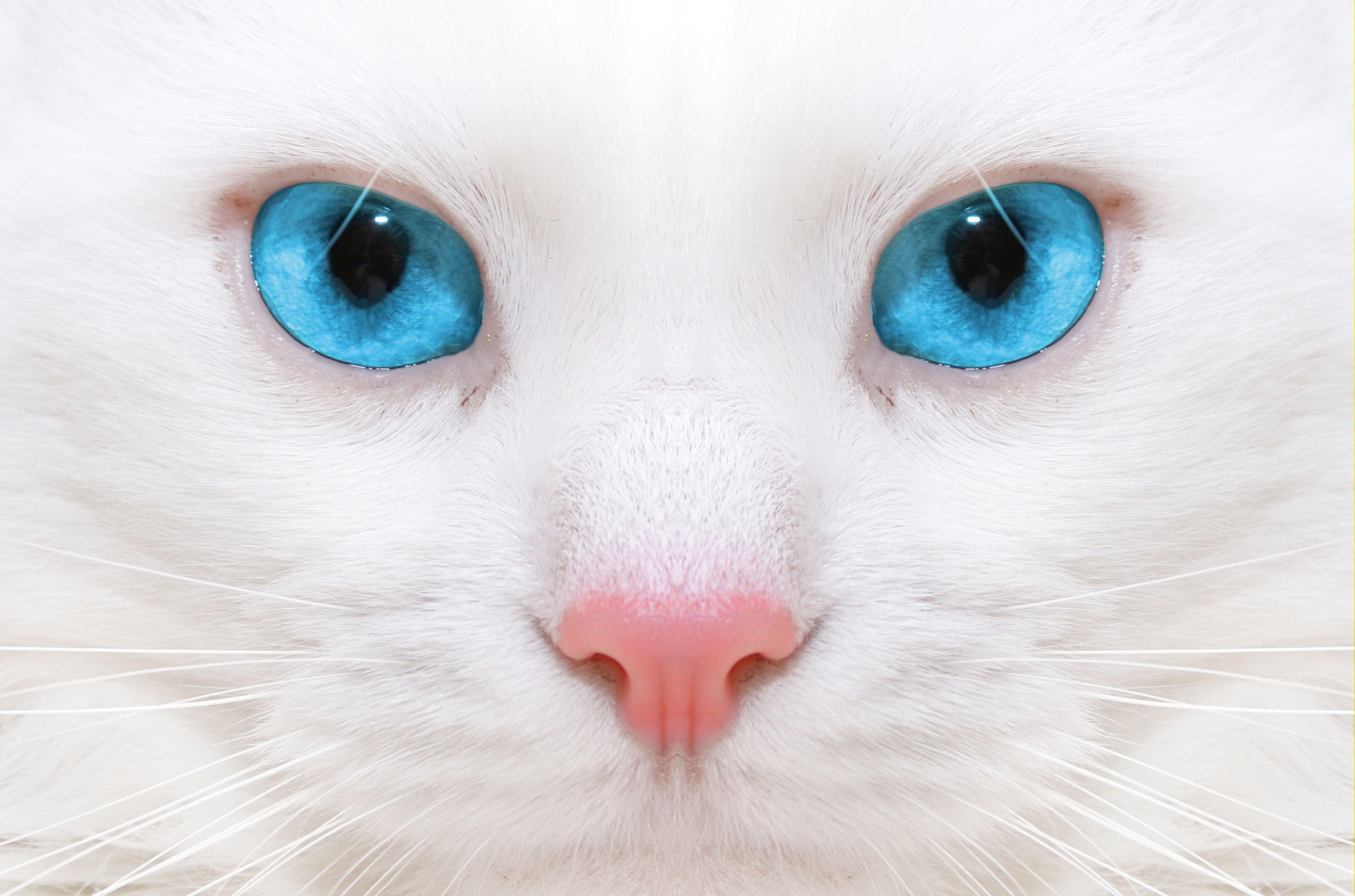 5196x3438 قطة بيضاء بعيون زرقاء عن قرب ورق حائط وصورة - ورق حائط