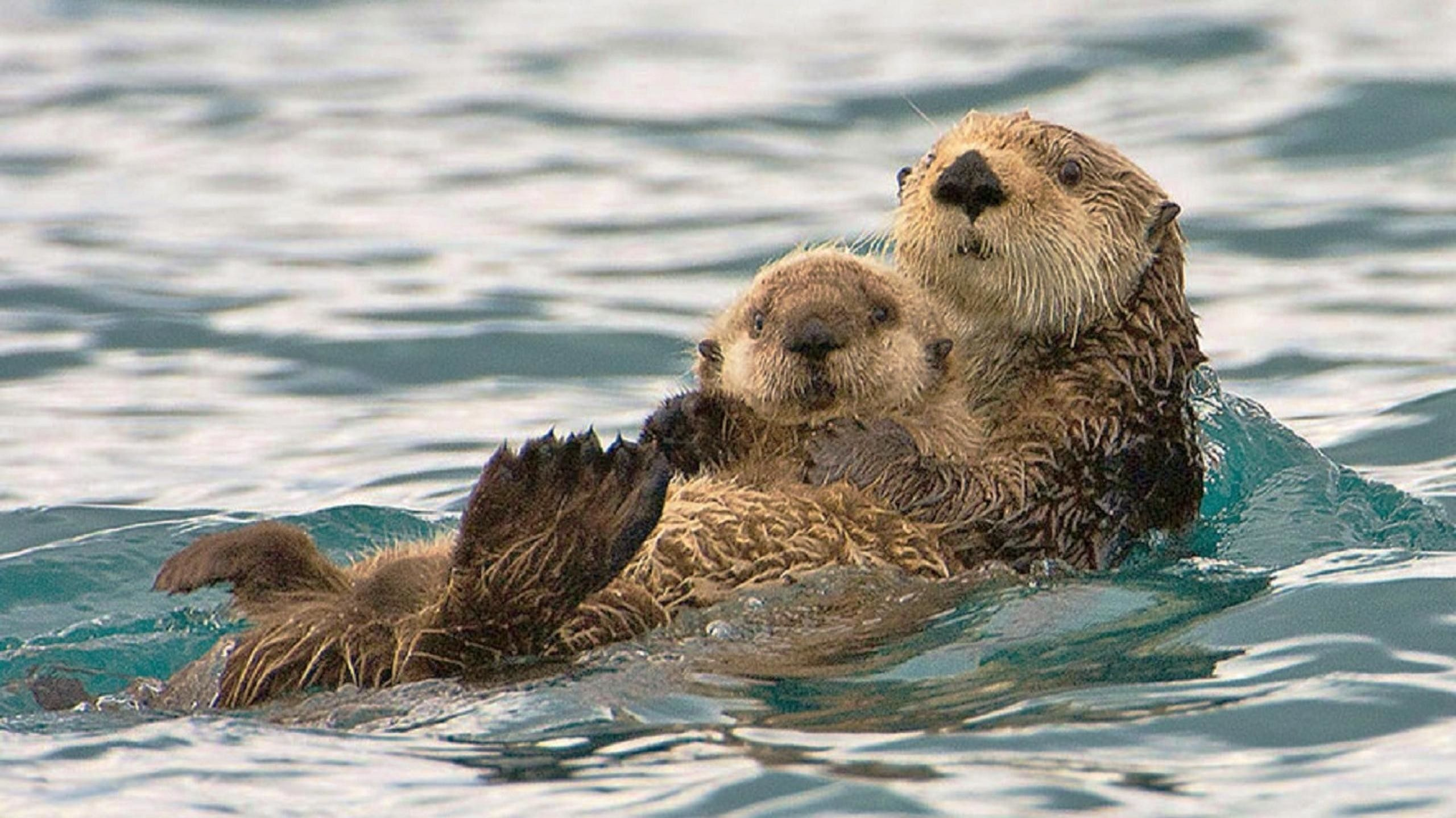 Sea Otter Wallpapers Top Free Sea Otter Backgrounds Wallpaperaccess