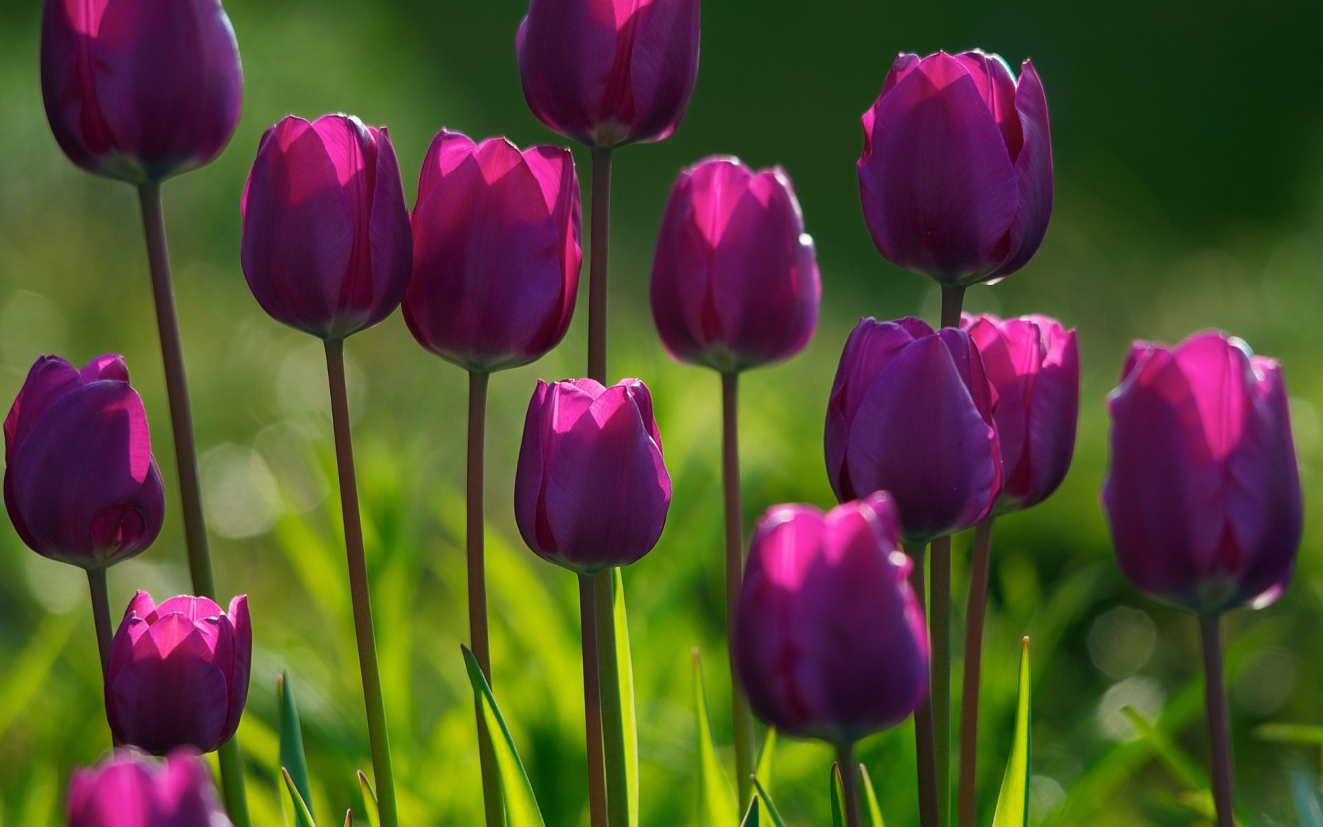 Purple Tulips Wallpapers Top Free Purple Tulips Backgrounds Wallpaperaccess
