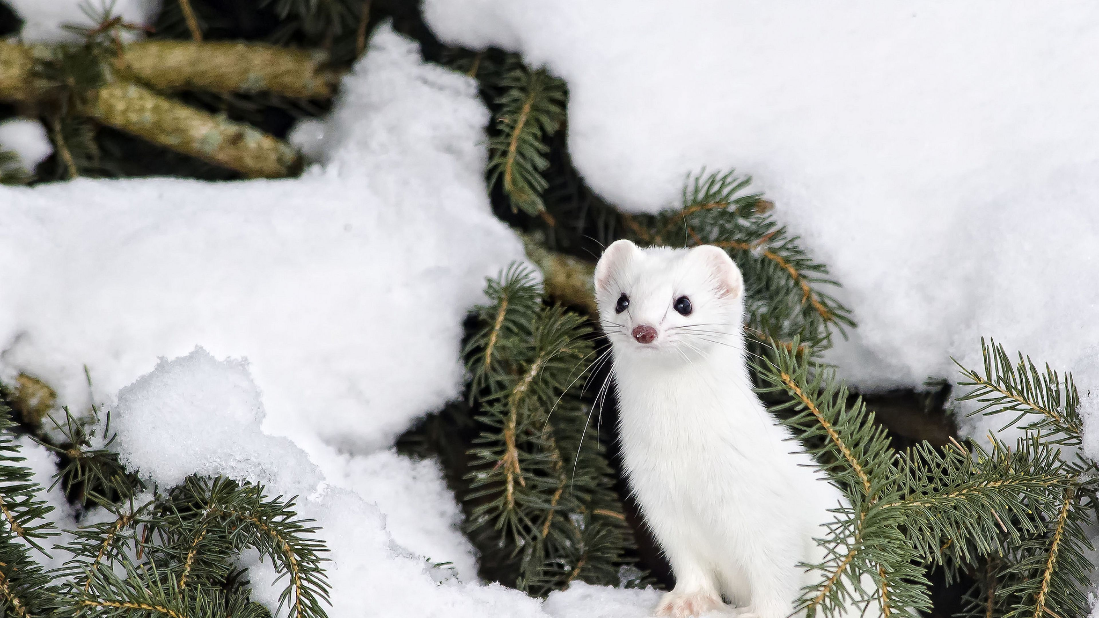 Animal Snow Wallpapers Top Free Animal Snow Backgrounds