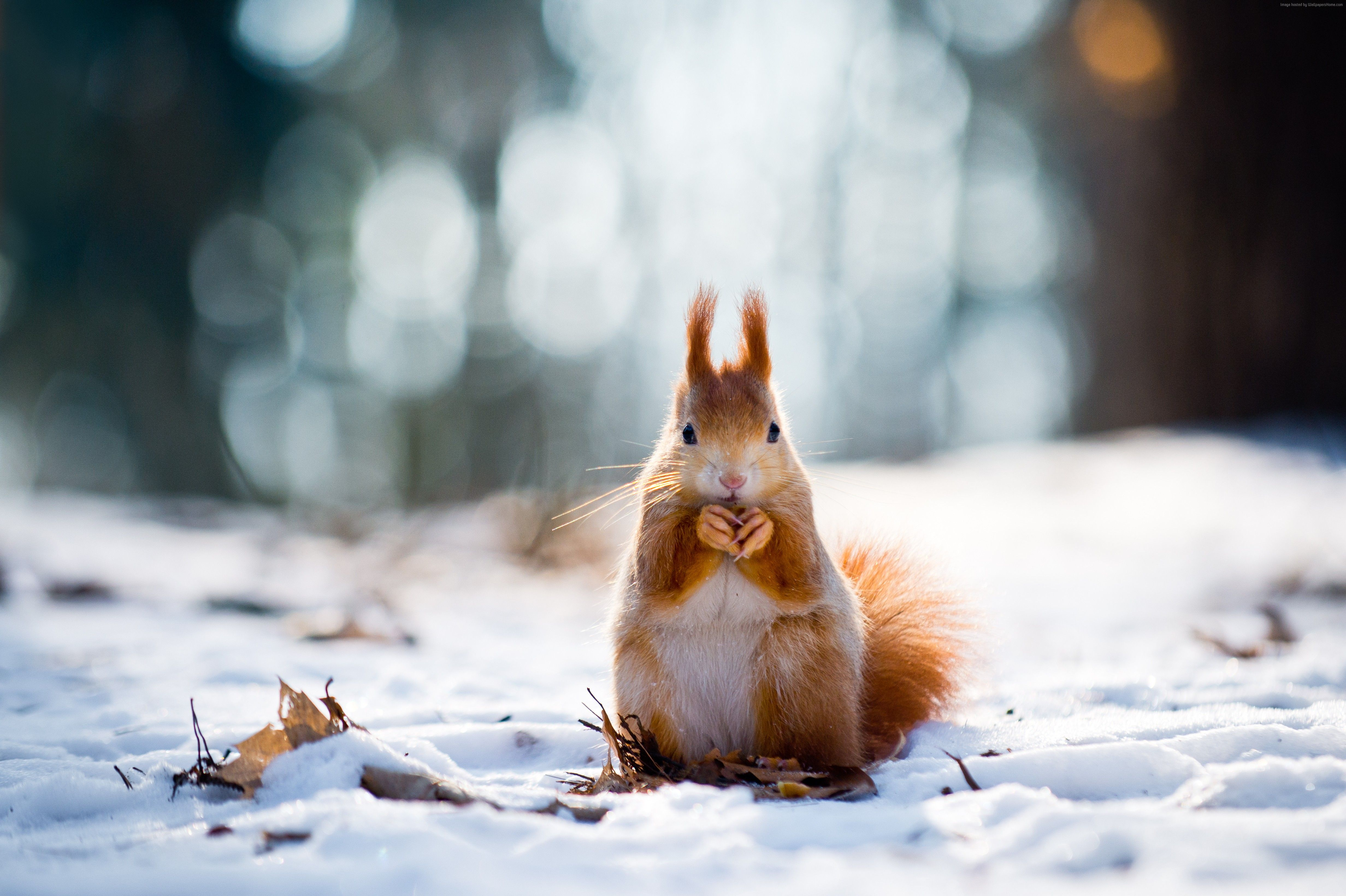 snow animals animal winter cute backgrounds wallpapers 4k wallpaperaccess squirrel