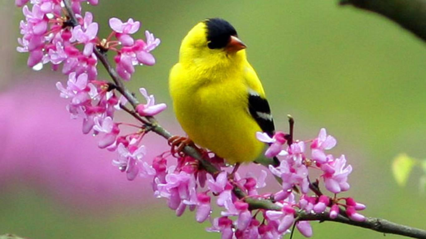 Yellow Bird Wallpapers Top Free Yellow Bird Backgrounds Wallpaperaccess