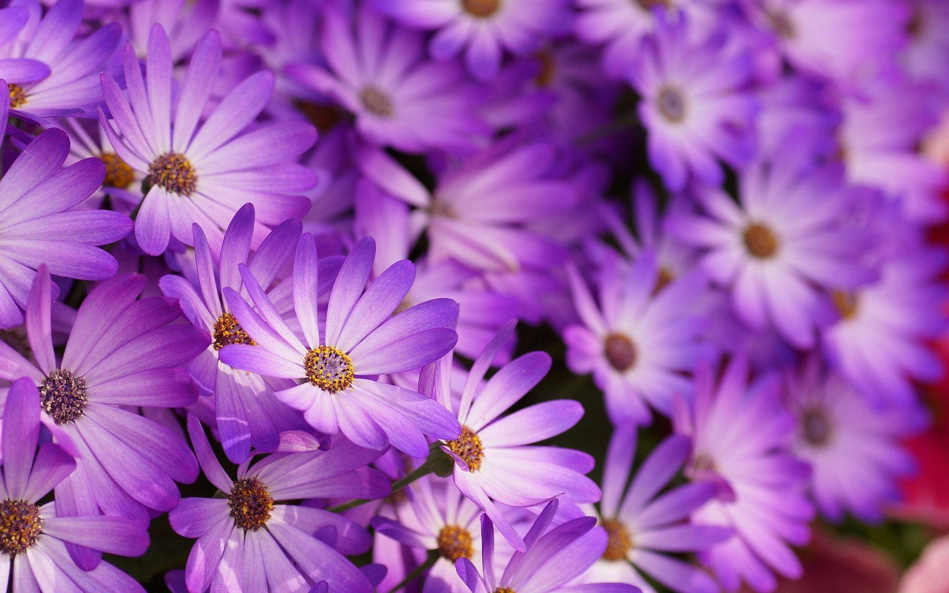 Violet Flower Wallpapers Top Free Violet Flower Backgrounds Wallpaperaccess