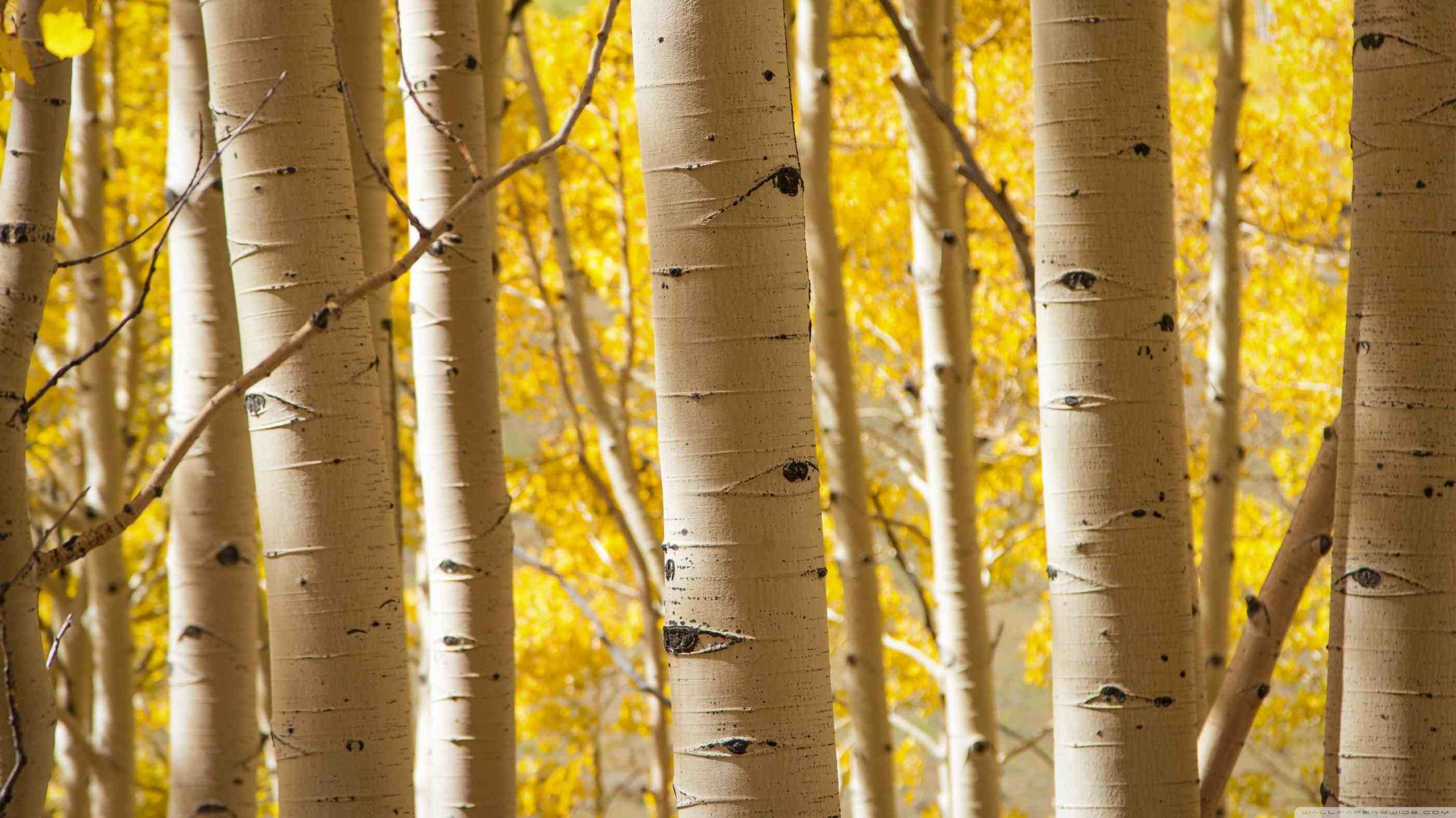 Birch Wallpapers Top Free Birch Backgrounds Wallpaperaccess