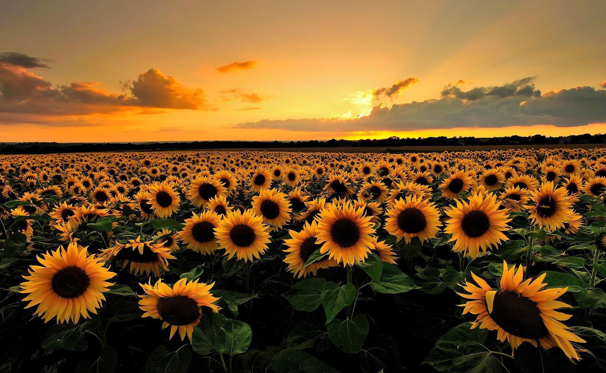 Sunflower Desktop Wallpapers Top Free Sunflower Desktop Backgrounds Wallpaperaccess