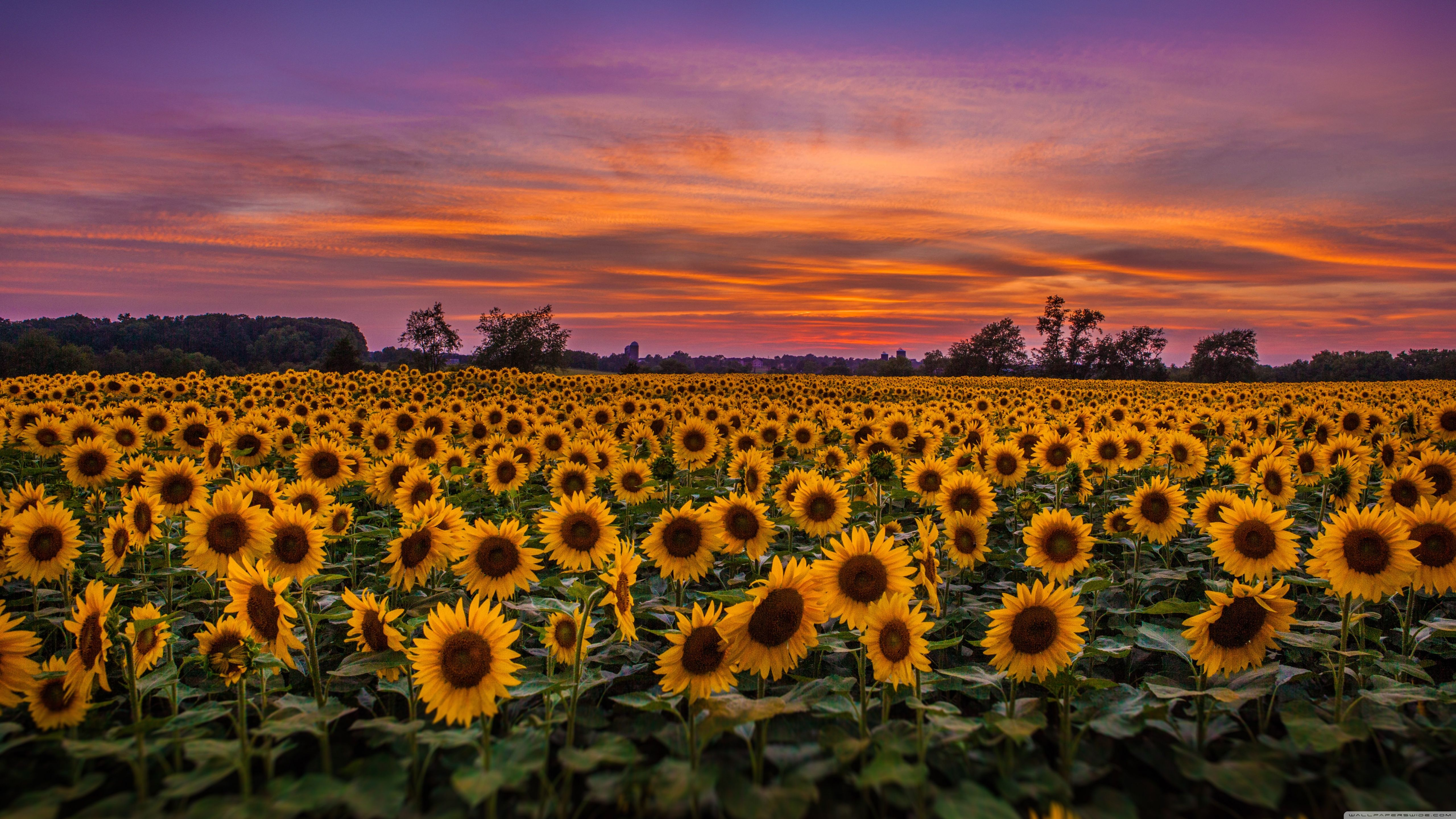 Sunflower Desktop Wallpapers Top Free Sunflower Desktop Backgrounds Wallpaperaccess