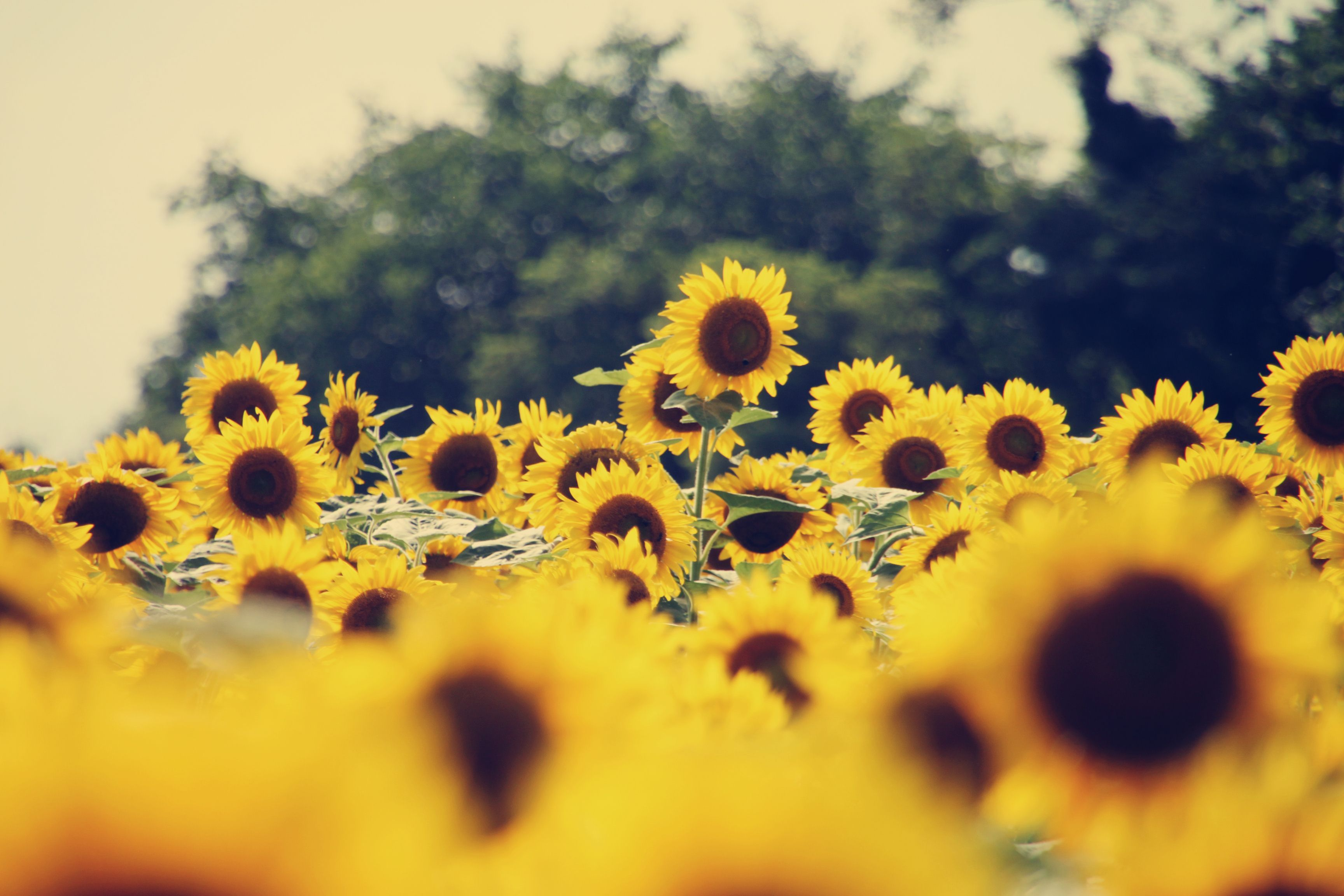 Vintage Sunflower Wallpapers , Top Free Vintage Sunflower