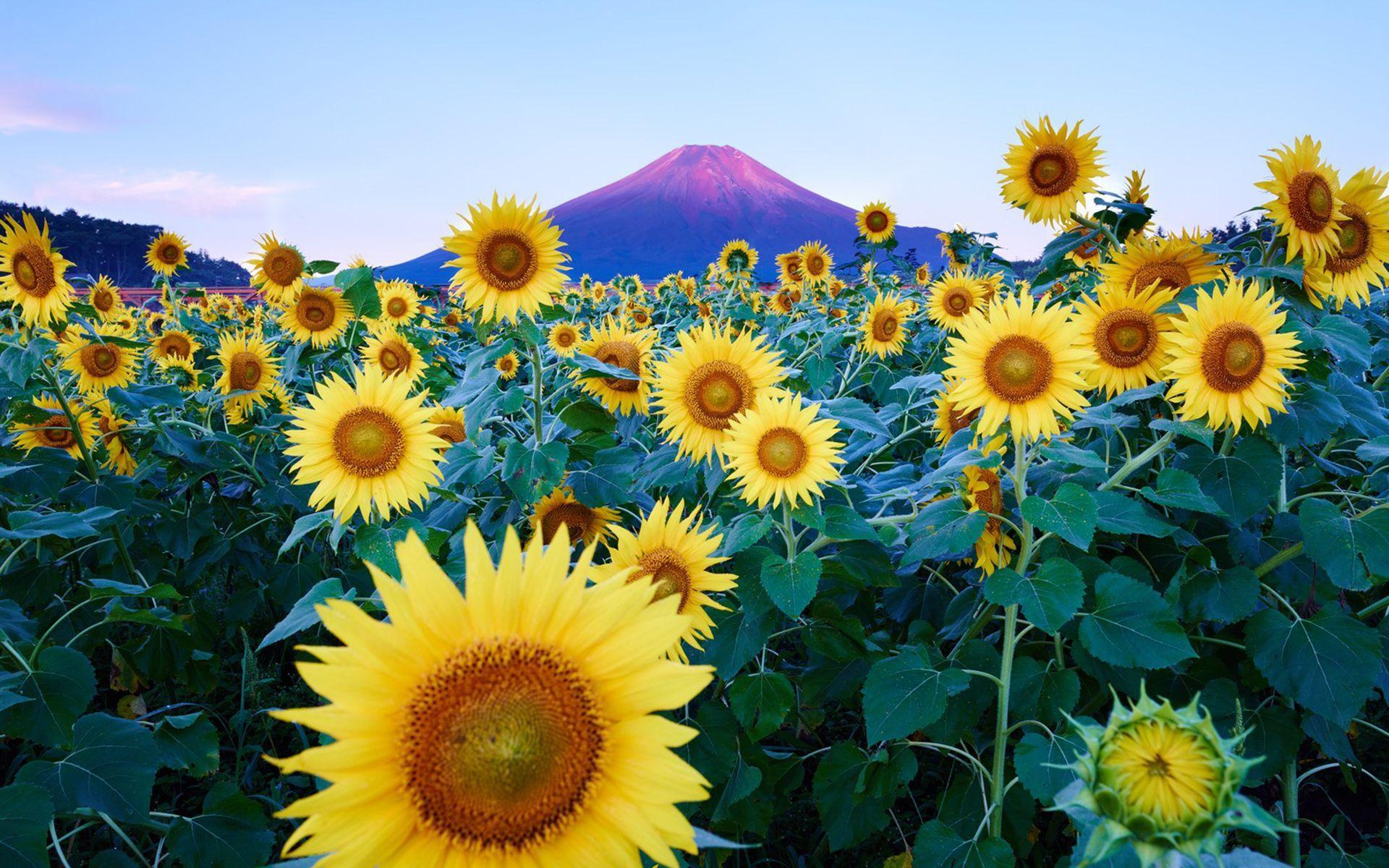 Sunflower Desktop Wallpapers - Top Free Sunflower Desktop ...