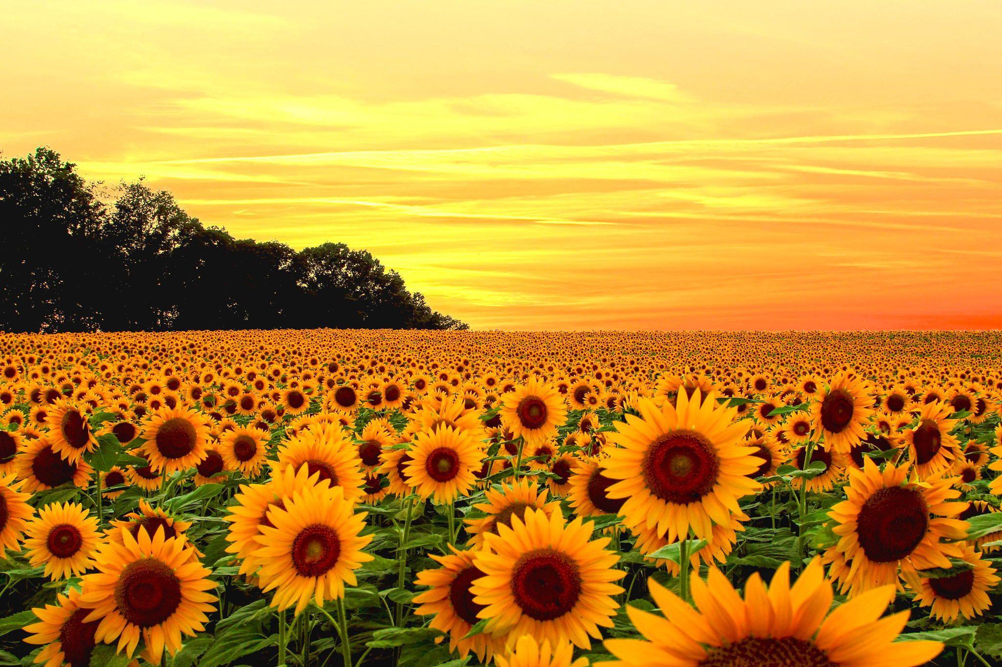 Sunflower Desktop Wallpapers Top Free Sunflower Desktop