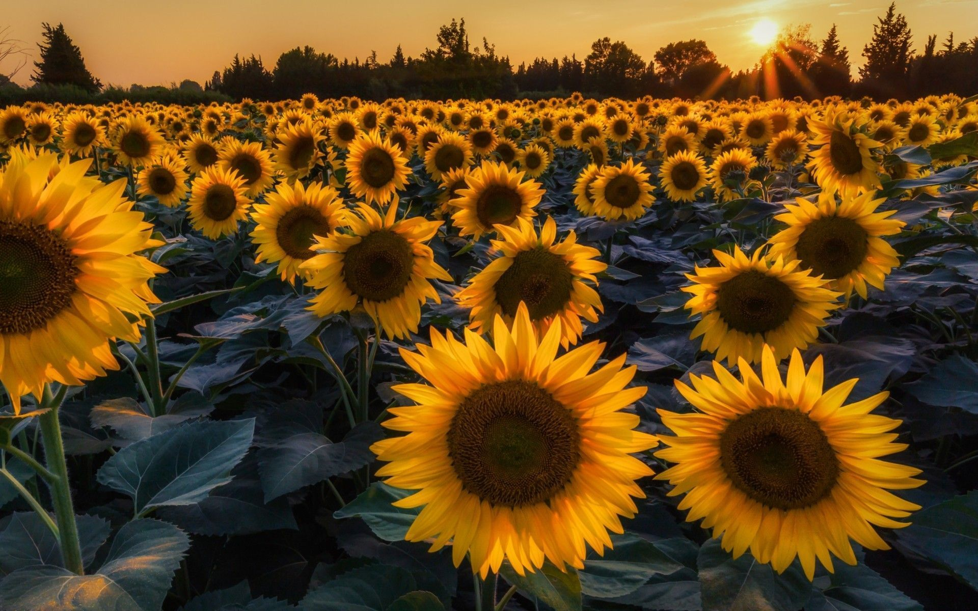 free sunflower wallpaper