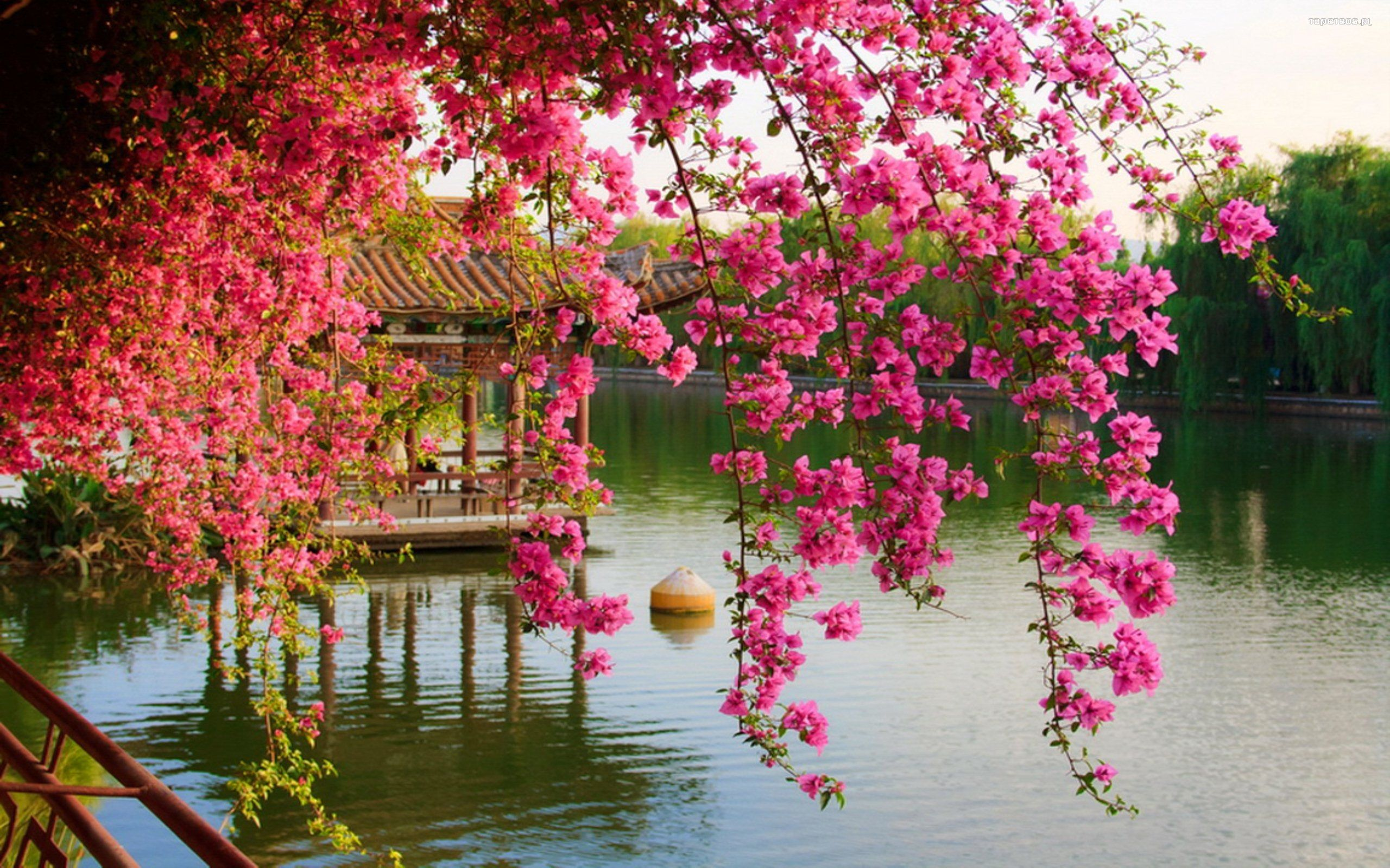 Chinese Flower Wallpapers Top Free Chinese Flower