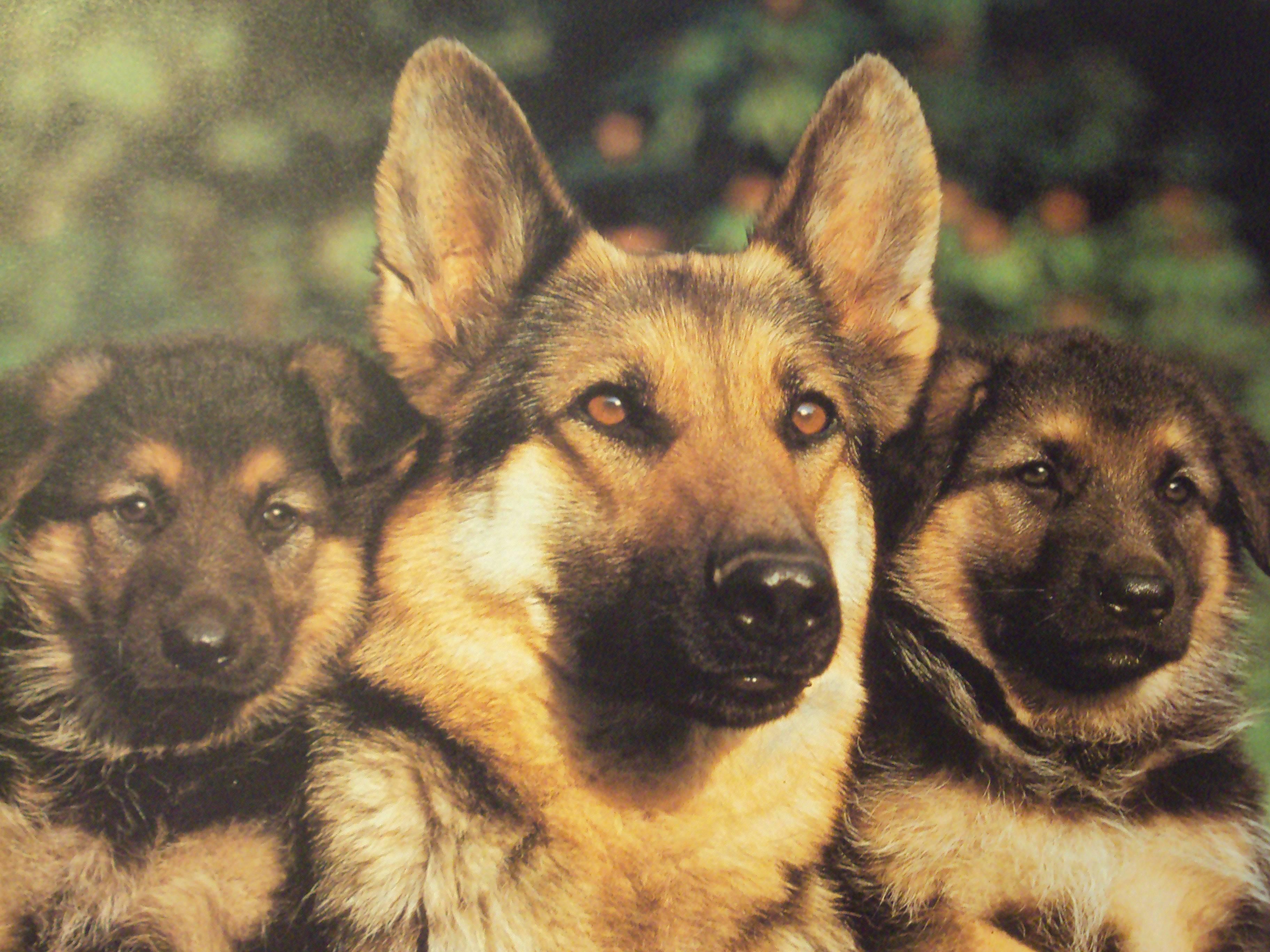 German Shepherd Desktop Wallpapers