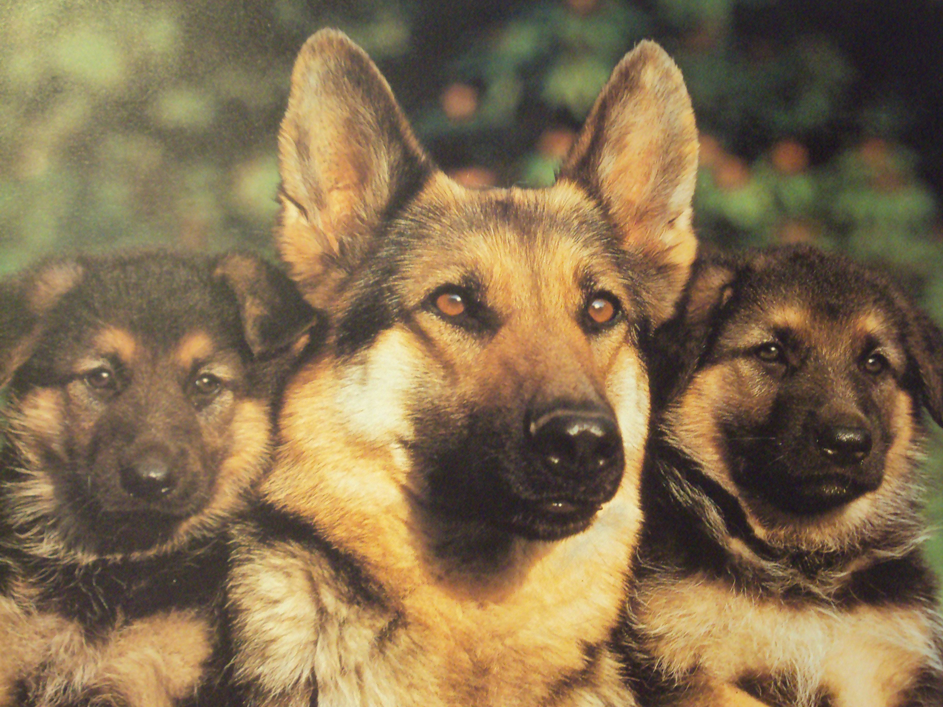 German Shepherd Desktop Wallpapers Top Free German Shepherd Desktop Backgrounds Wallpaperaccess