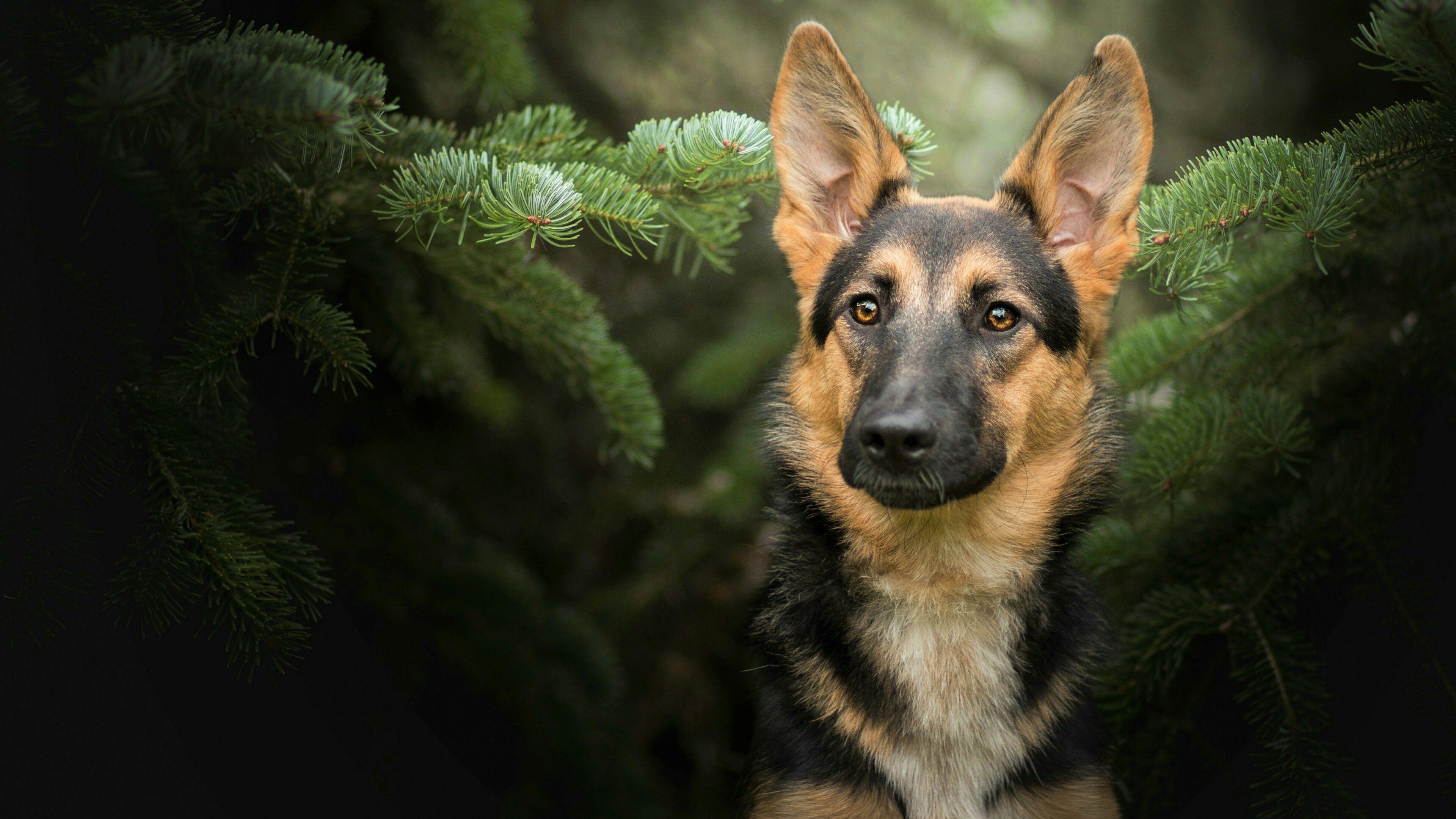 German Shepherd Dog Wallpapers - Top