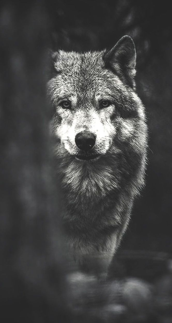 71 Best Free Evil Wolf Wallpapers Wallpaperaccess