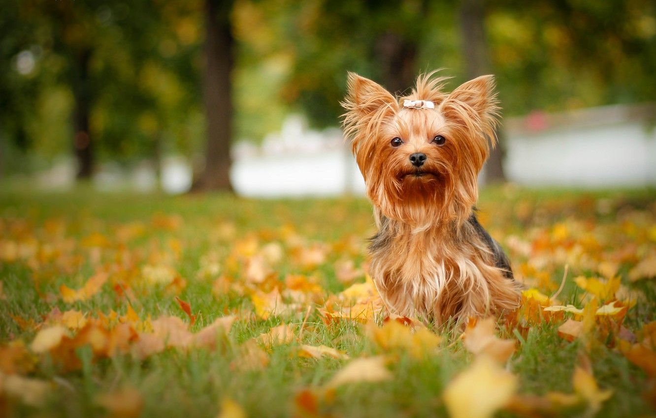 Yorkshire Terrier Wallpapers Top Free Yorkshire Terrier Backgrounds Wallpaperaccess