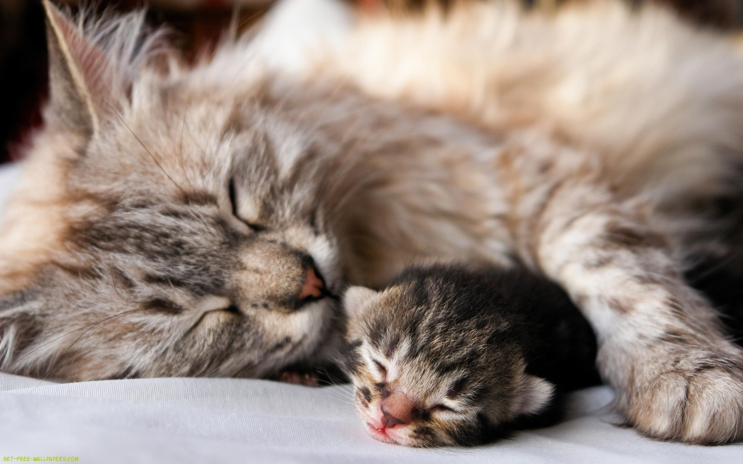 Baby Cats Wallpapers Top Free Baby Cats Backgrounds Wallpaperaccess