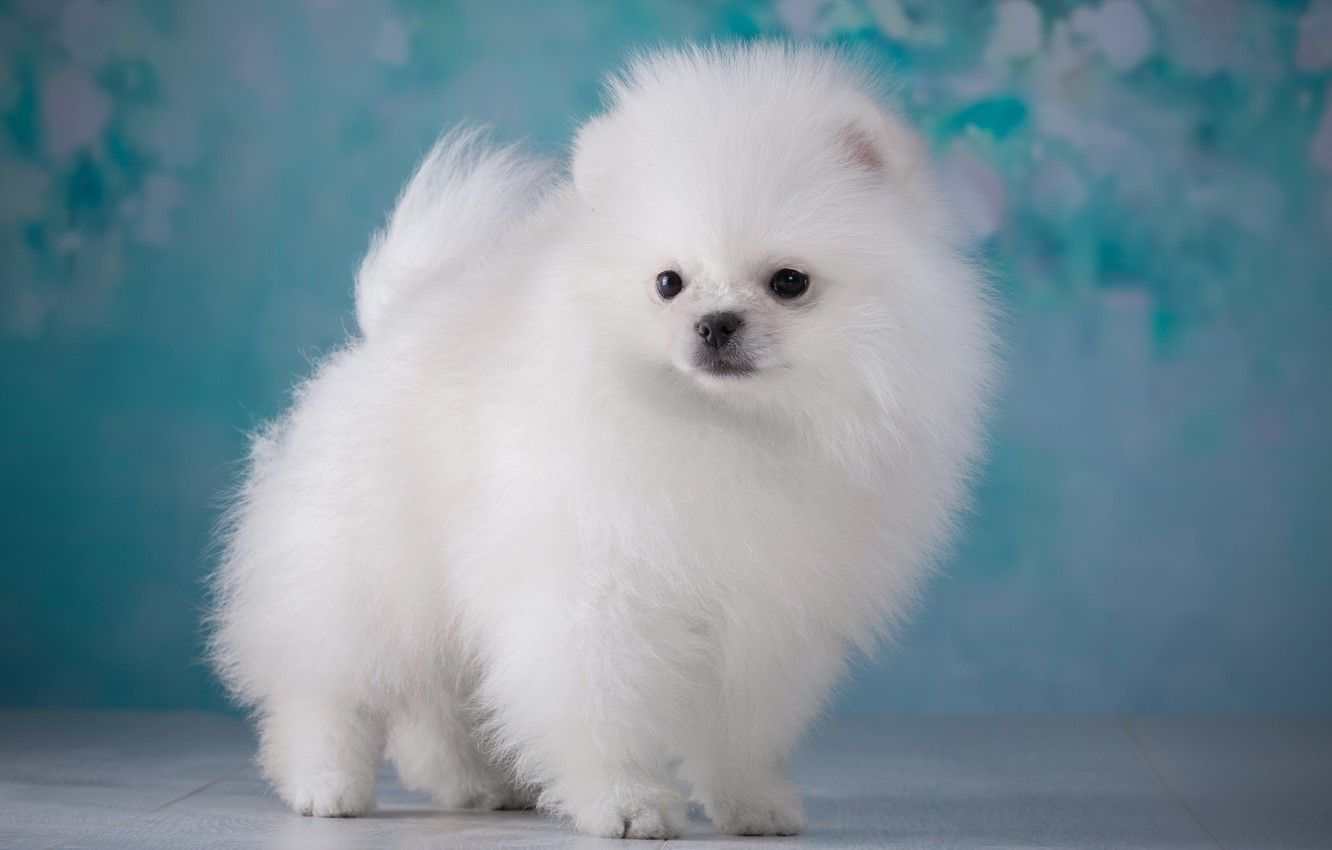 Fluffy Puppies Wallpapers Top Free Fluffy Puppies Backgrounds Wallpaperaccess