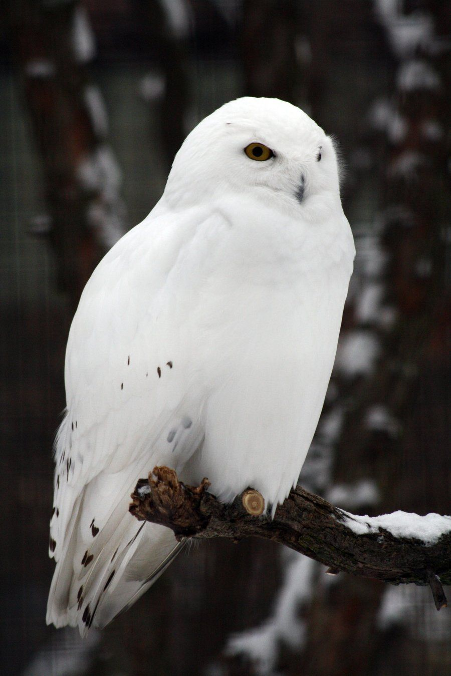 White Owl Iphone Wallpapers Top Free White Owl Iphone