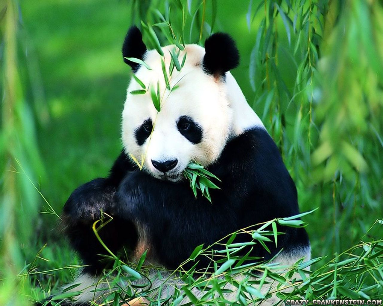 Panda Bear Wallpapers - Top Free Panda