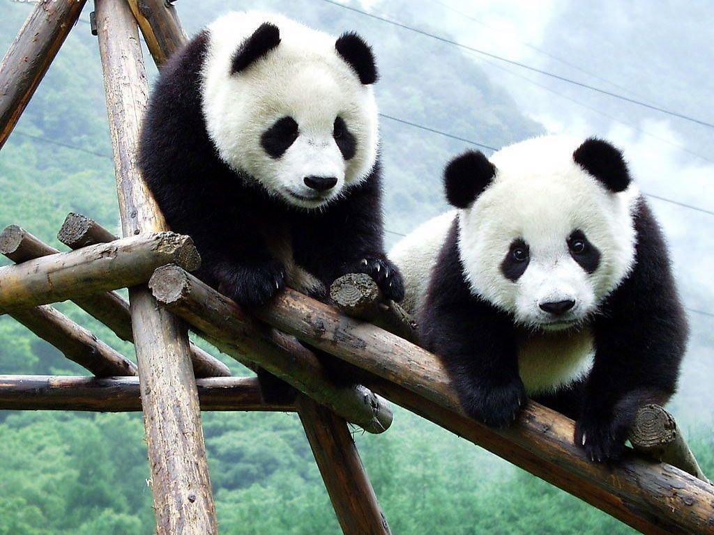 Panda Bear Wallpapers Top Free Panda Bear Backgrounds Wallpaperaccess