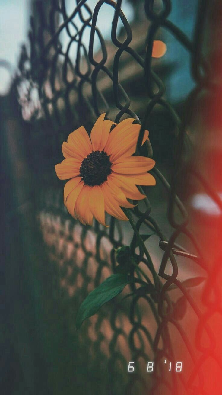 Sunflower Aesthetic Grunge Wallpapers Top Free Sunflower Aesthetic Grunge Backgrounds Wallpaperaccess