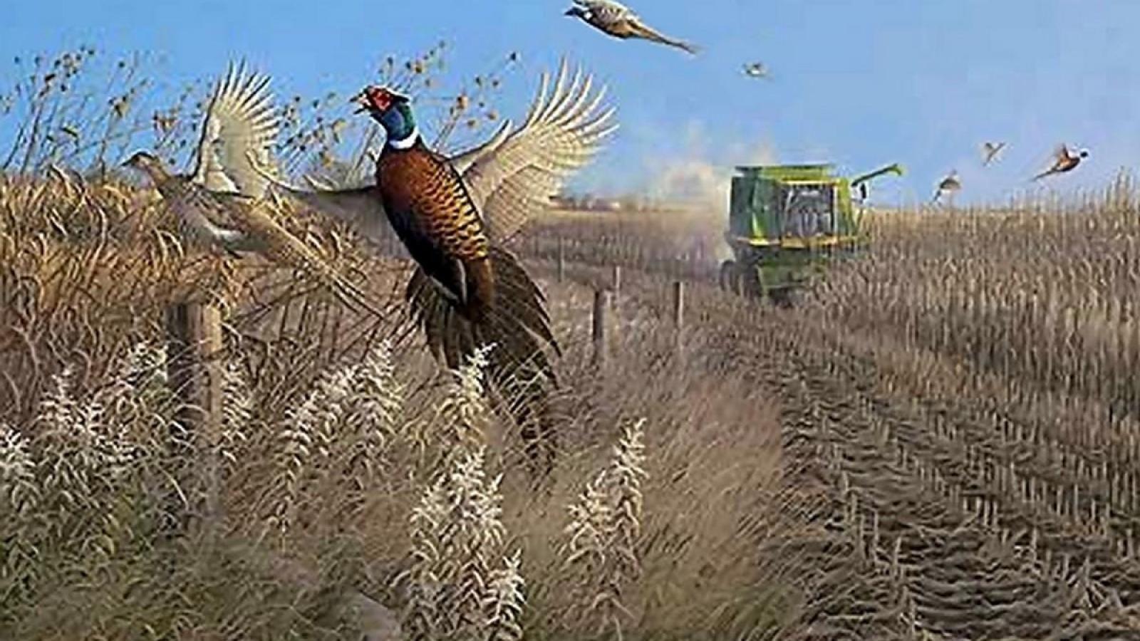 Pheasant Hunting Desktop Wallpapers Top Free Pheasant