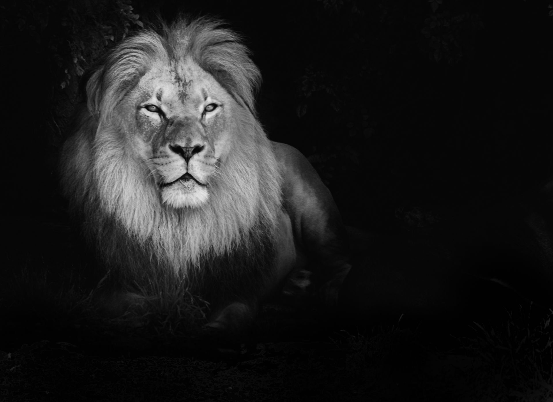 Lion Black And White Wallpapers Top Free Lion Black And White Backgrounds Wallpaperaccess