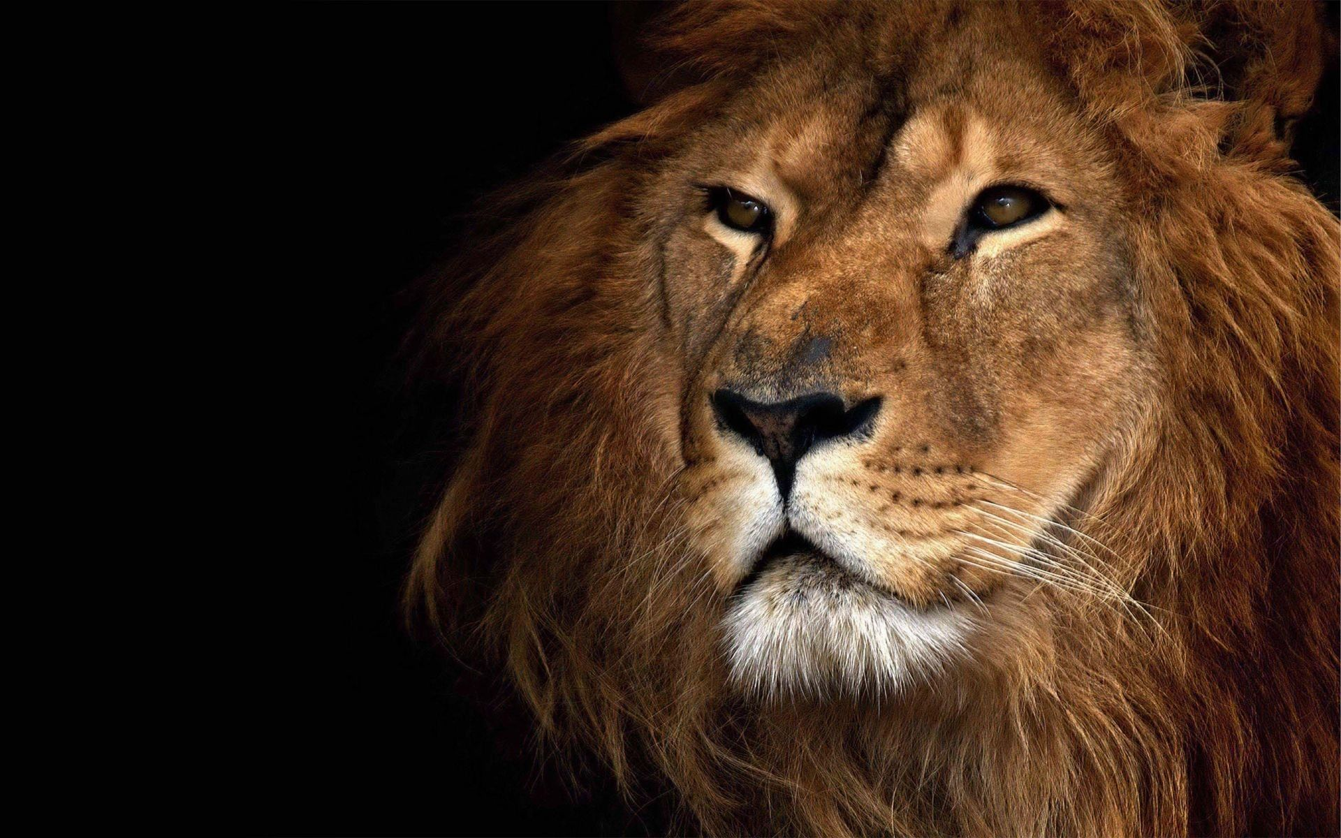 Lion Face Wallpapers - Top Free Lion ...