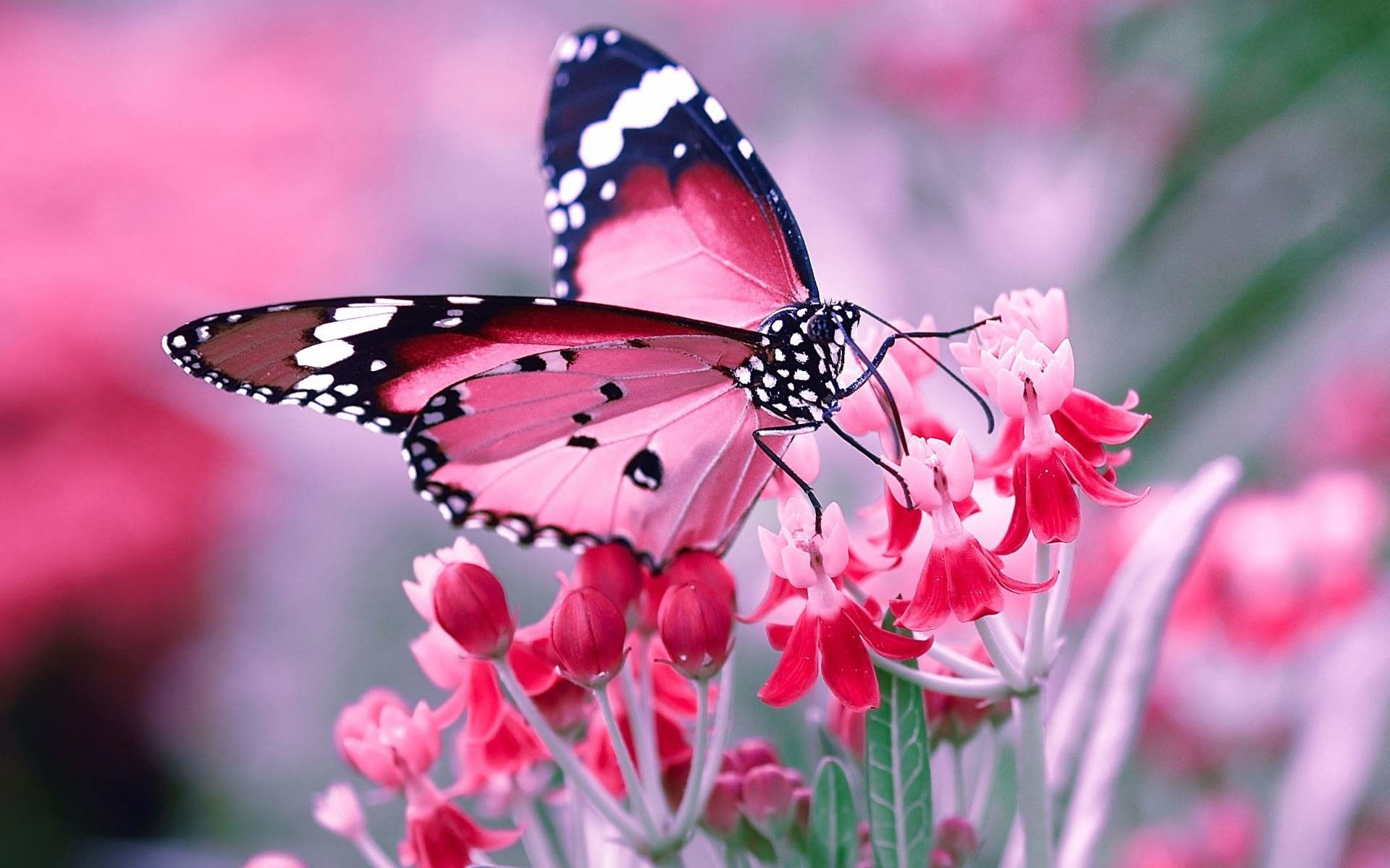 Full Hd Butterfly Wallpapers Top Free Full Hd Butterfly Backgrounds Wallpaperaccess