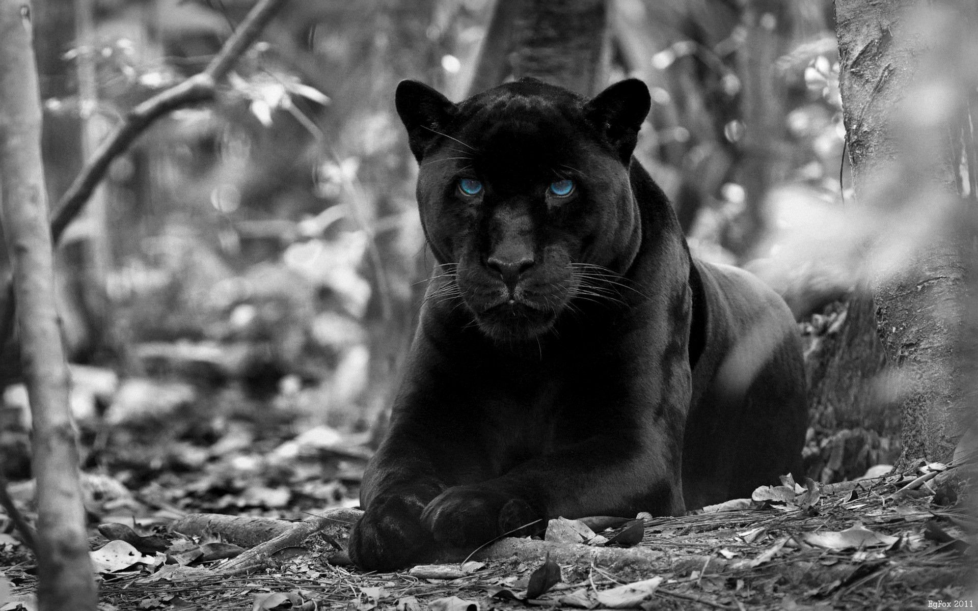 Black Jaguar Wallpapers Top Free Black Jaguar Backgrounds Wallpaperaccess