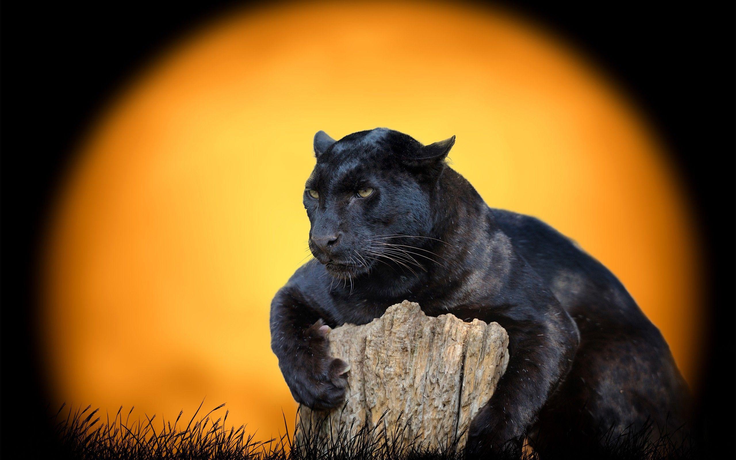 Jaguar Animal Wallpapers Top Free Jaguar Animal Backgrounds Wallpaperaccess