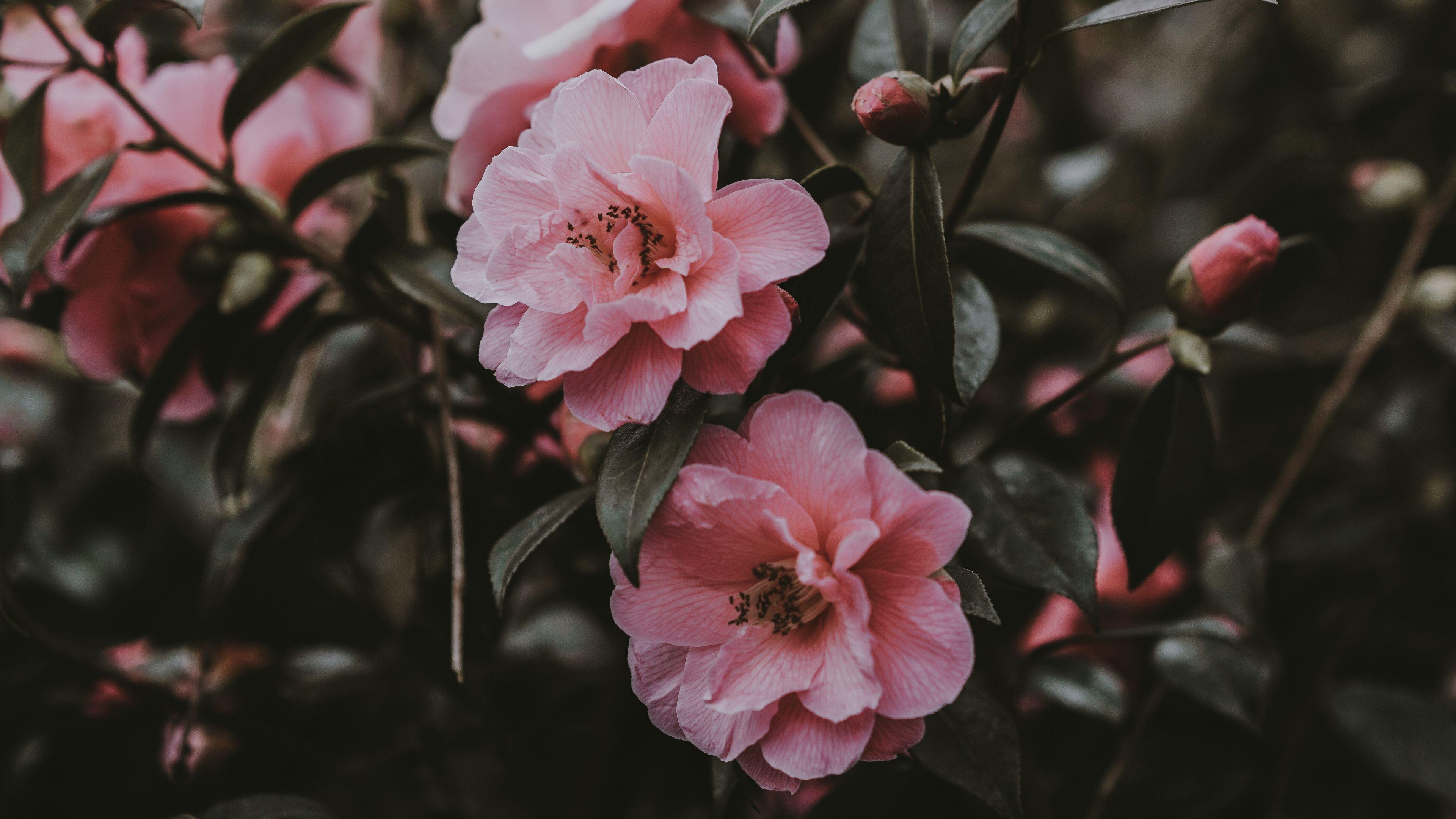 Pink Flowers Aesthetic Laptop Wallpapers Top Free Pink Flowers Aesthetic Laptop Backgrounds Wallpaperaccess