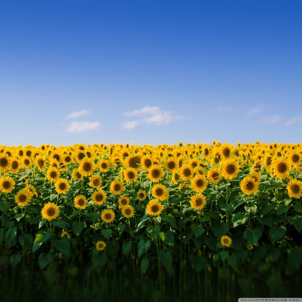 Yellow Sunflower Aesthetic Wallpapers - Top Free Yellow ...