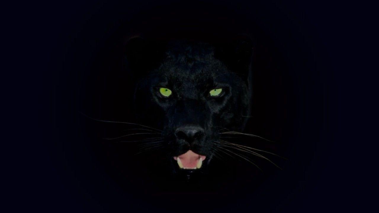 Black Leopard Wallpapers Top Free Black Leopard Backgrounds Wallpaperaccess