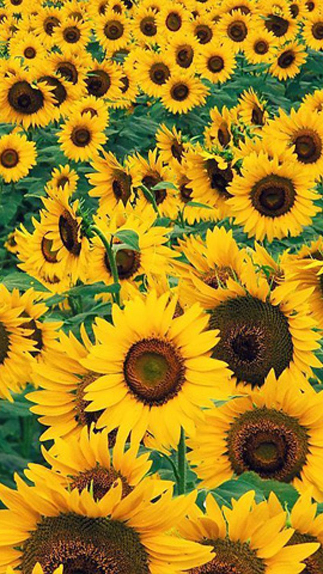 Sunflower Iphone Wallpapers Top Free Sunflower Iphone