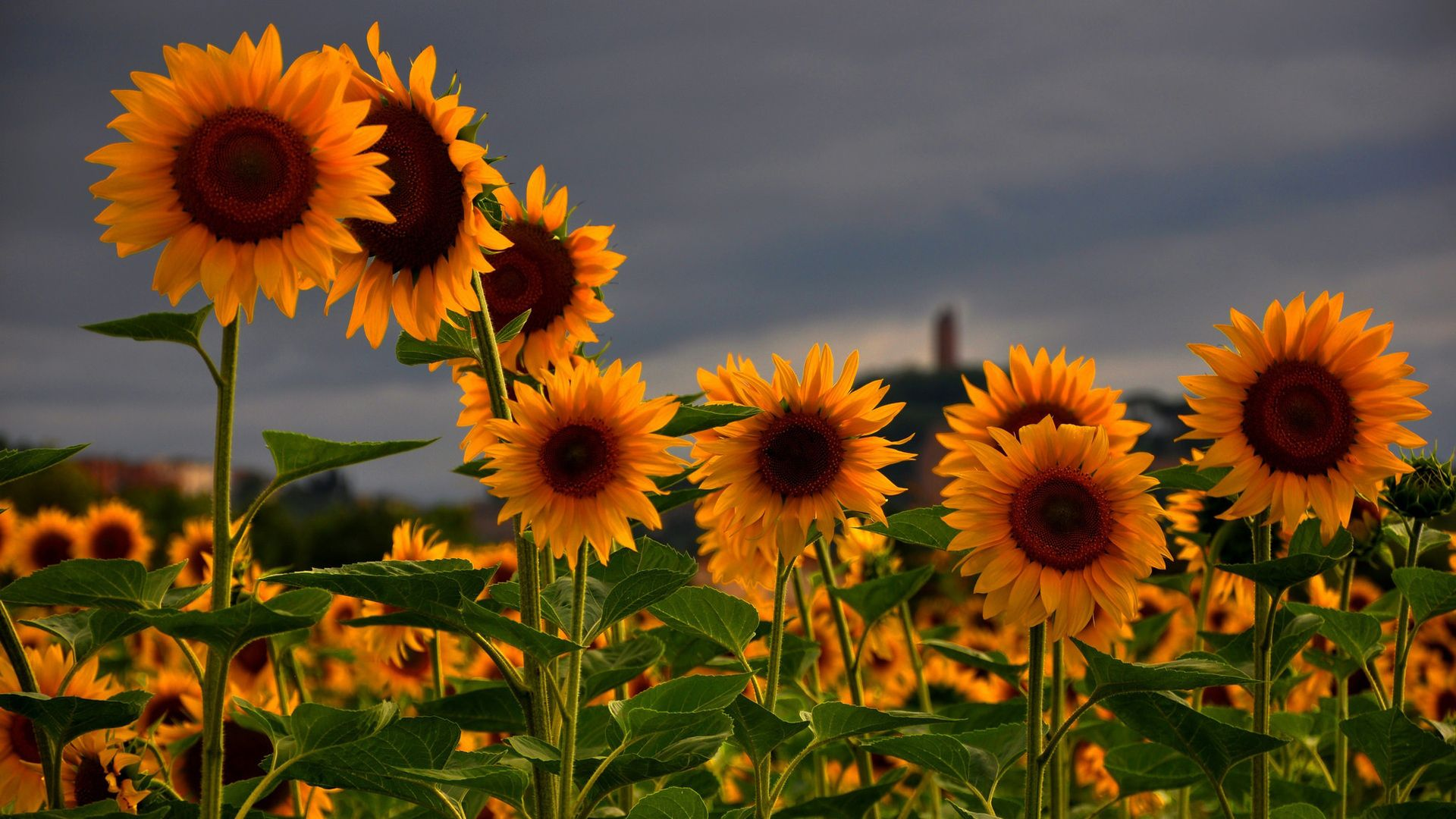 Sunflower Wallpapers Top Free Sunflower Backgrounds