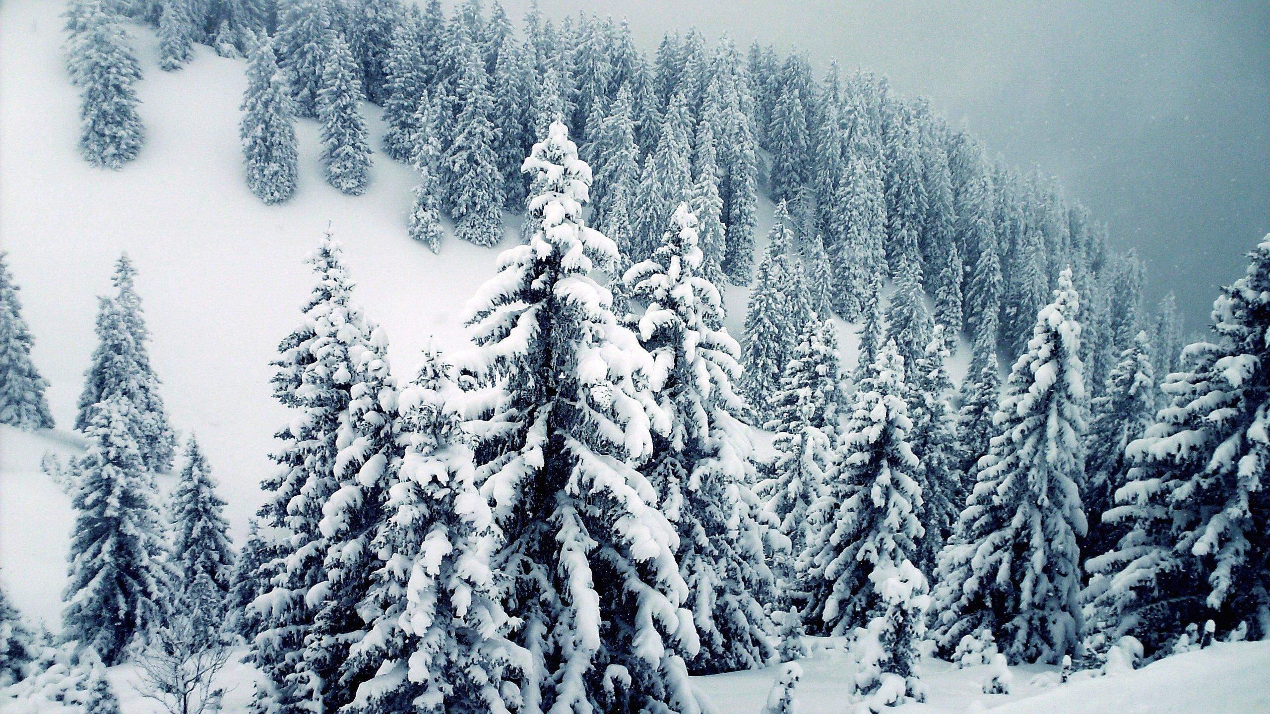 White Tree Winter HD Desktop Wallpaper for K Ultra HD TV