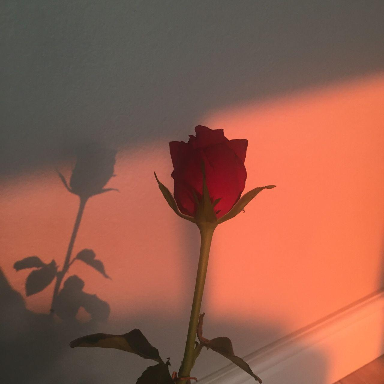 Rose Aesthetic Wallpapers Top Free Rose Aesthetic Backgrounds