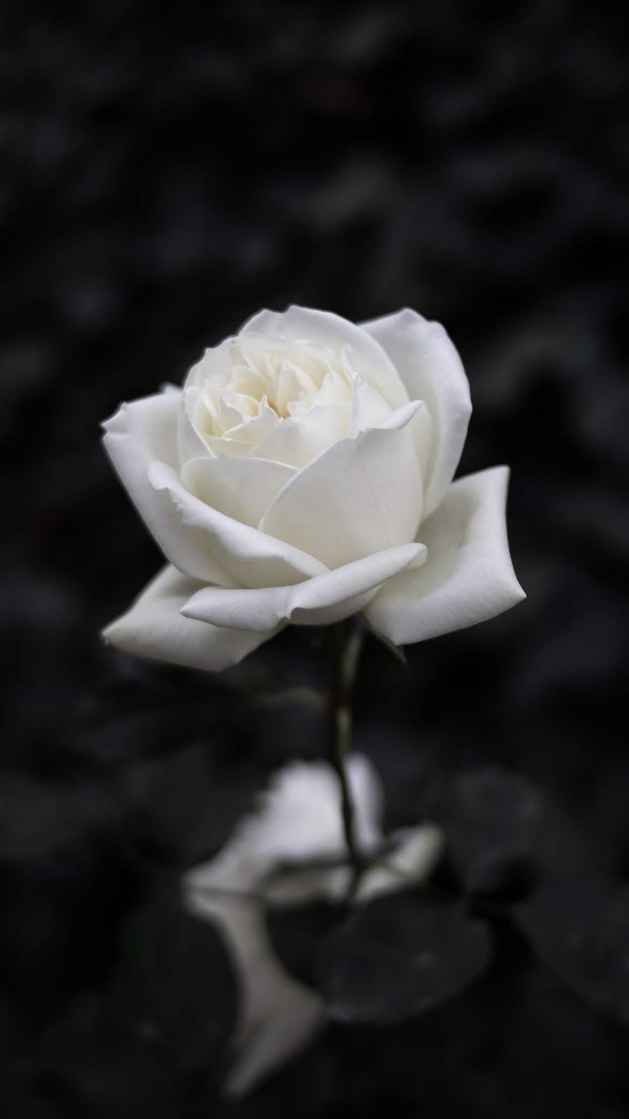 White Rose Aesthetic Wallpapers Top Free White Rose Aesthetic Backgrounds Wallpaperaccess