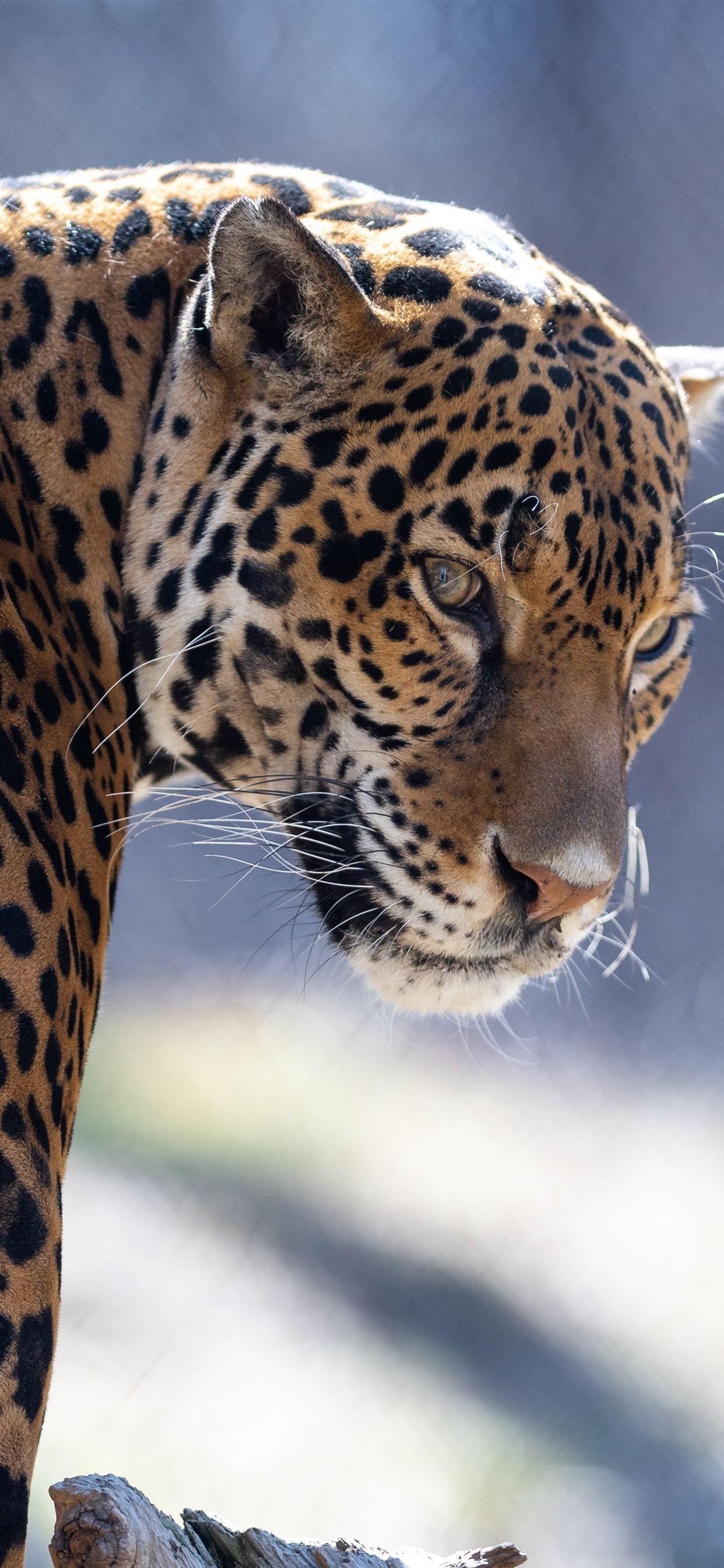Jaguar Iphone Wallpapers Top Free Jaguar Iphone Backgrounds Wallpaperaccess