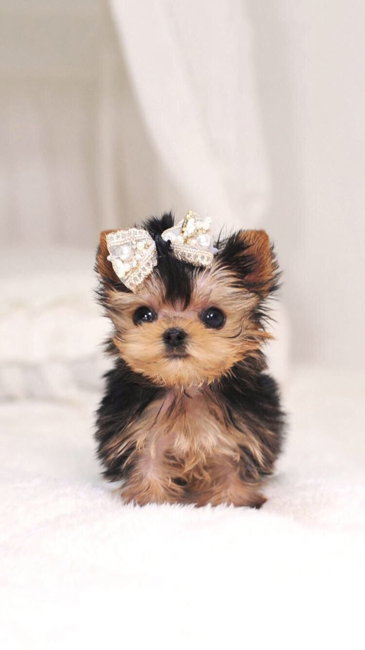 Cute Little Puppies Wallpapers Top Free Cute Little Puppies Backgrounds Wallpaperaccess