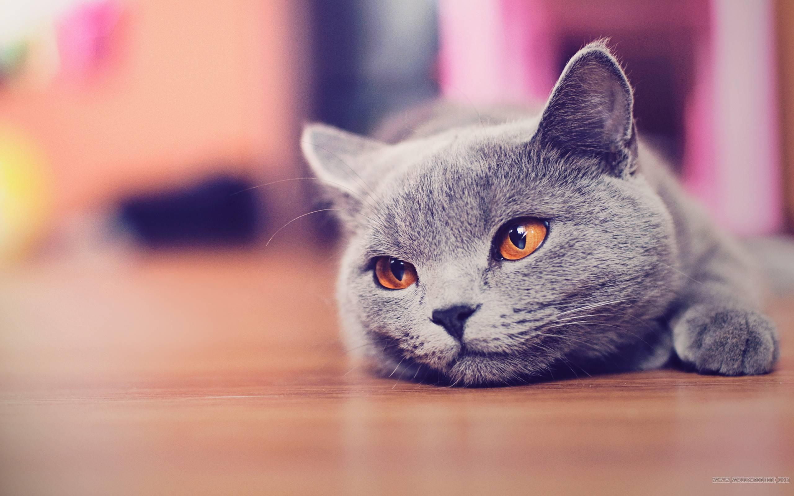 Cat Desktop Wallpapers , Top Free Cat Desktop Backgrounds