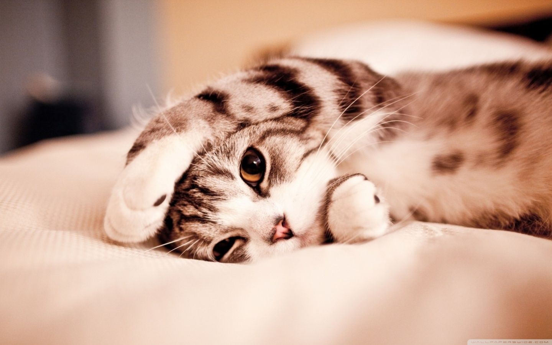 Cat Desktop Wallpapers Top Free Cat Desktop Backgrounds