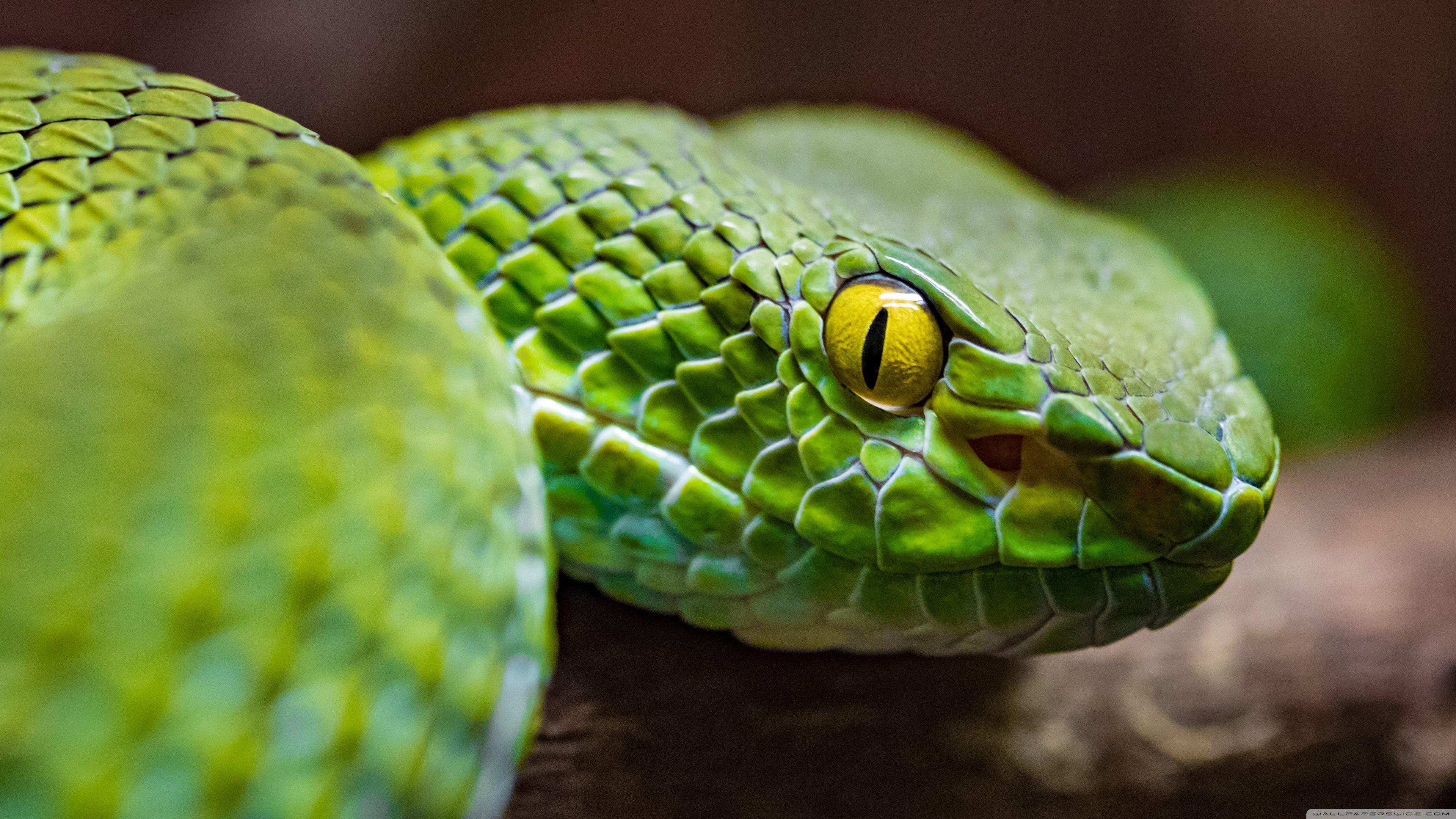 Snake 4k ultra hd wallpapers top free snake 4k ultra hd - Green snake hd wallpaper ...